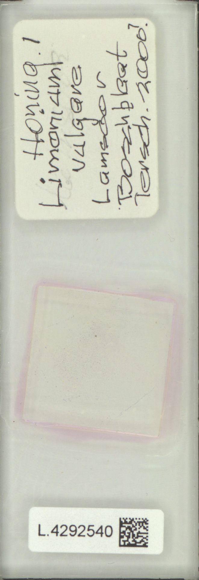 L.4292540 | Limonium vulgare Mill.