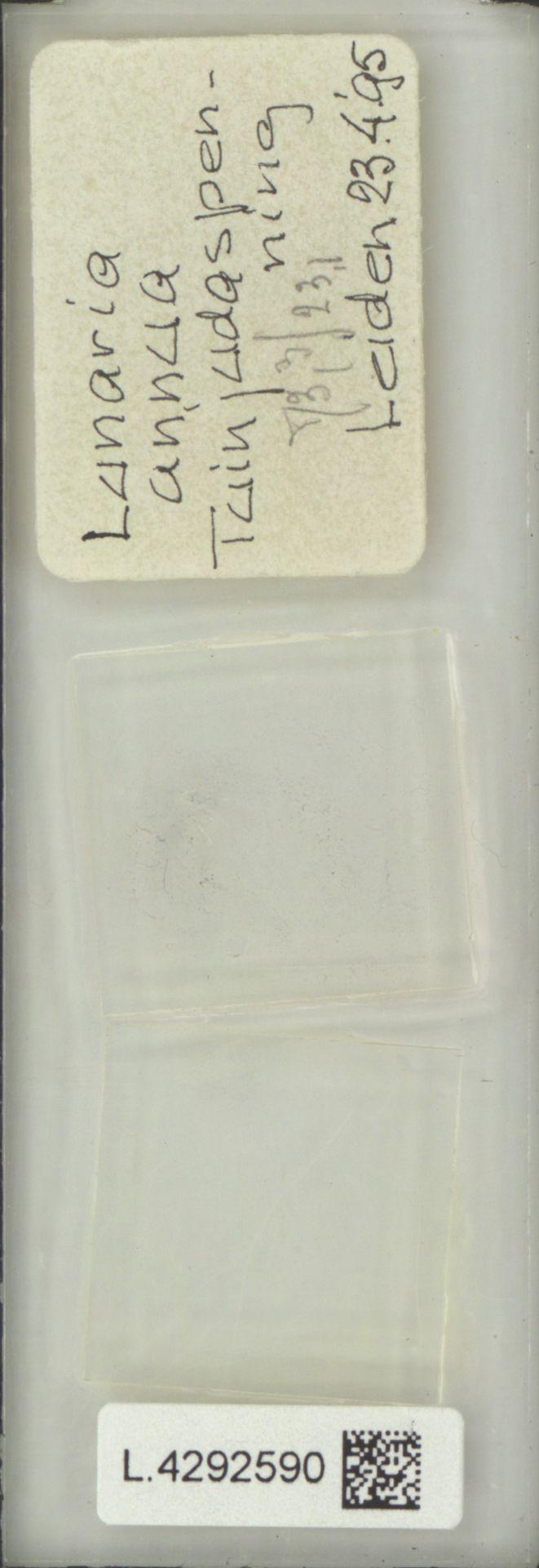 L.4292590 | Lunaria annua L.