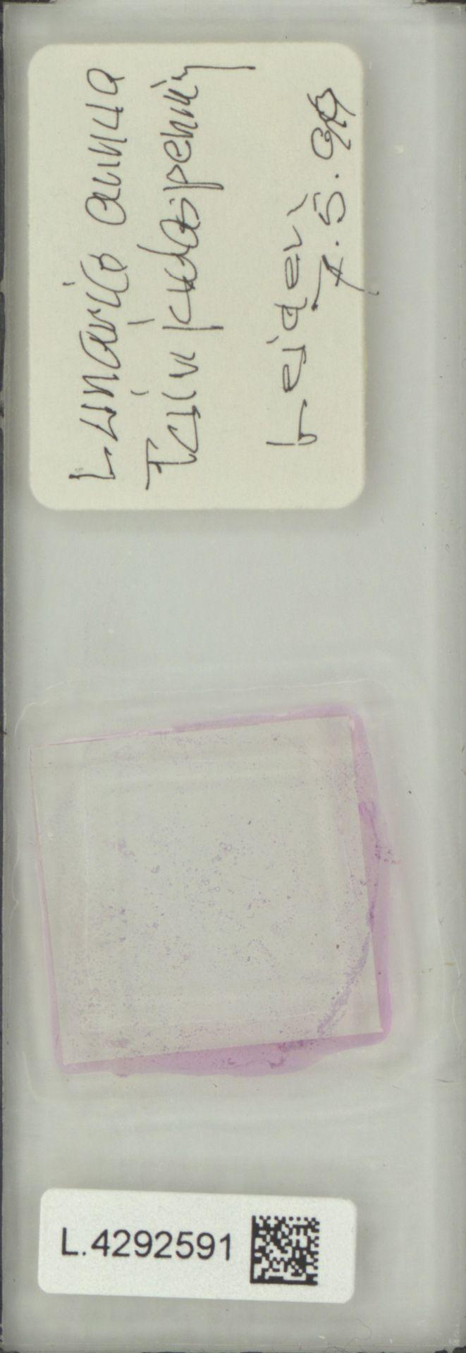 L.4292591 | Lunaria annua L.