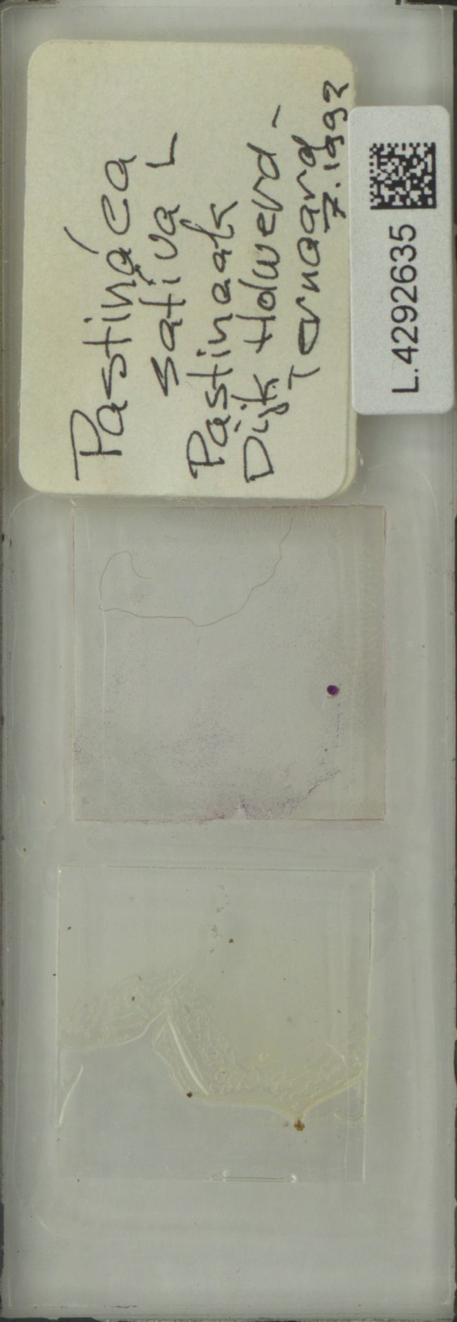 L.4292635   Pastinaca sativa L.