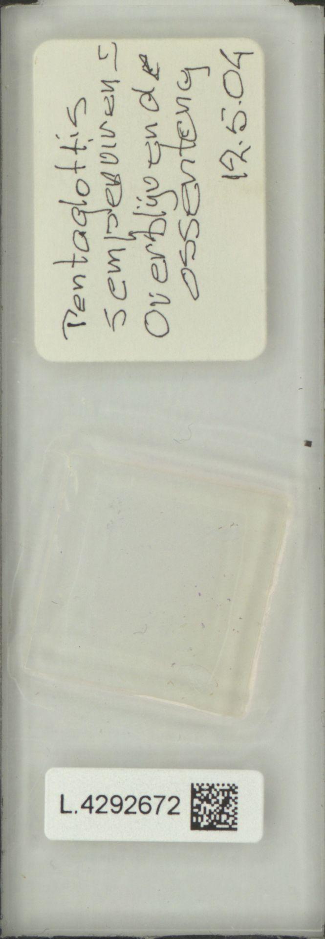 L.4292672 | Pentaglottis sempervirens (L.) L.H.Bailey
