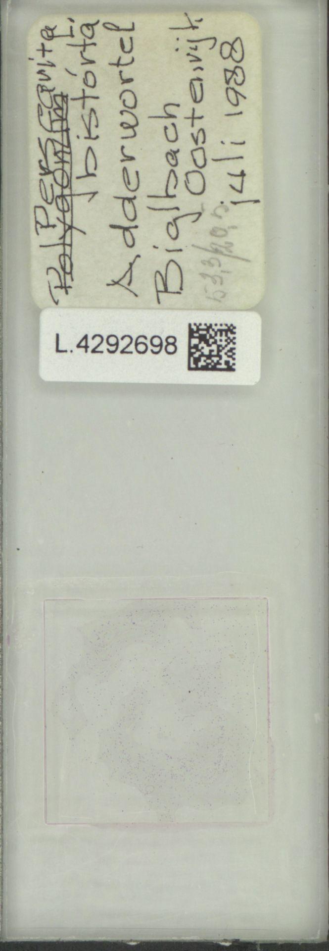 L.4292698 | Persicaria bistorta (L.) Samp.
