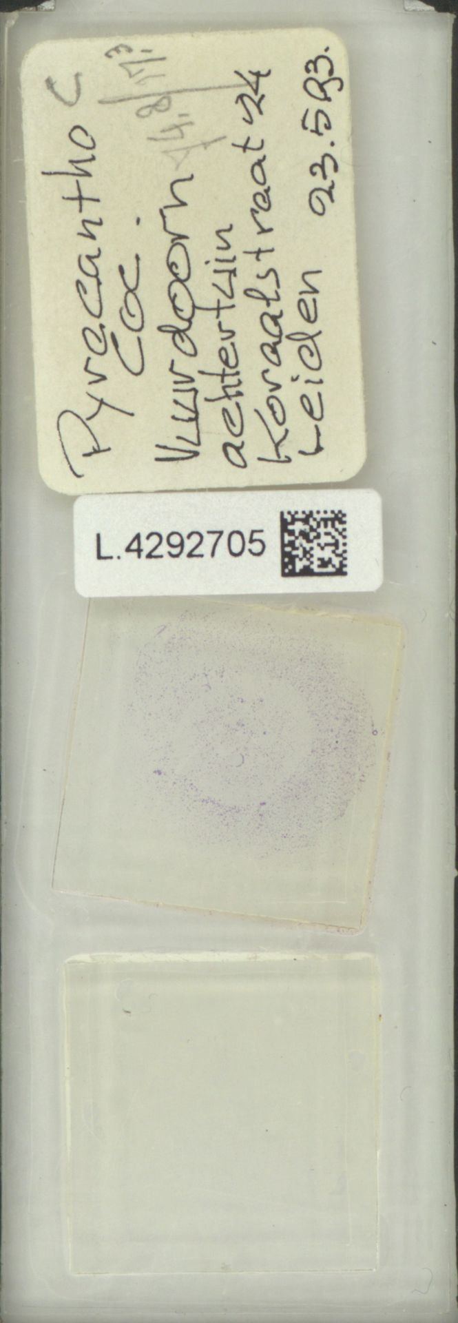 L.4292705 | Pyracantha coccinea M.Roem.