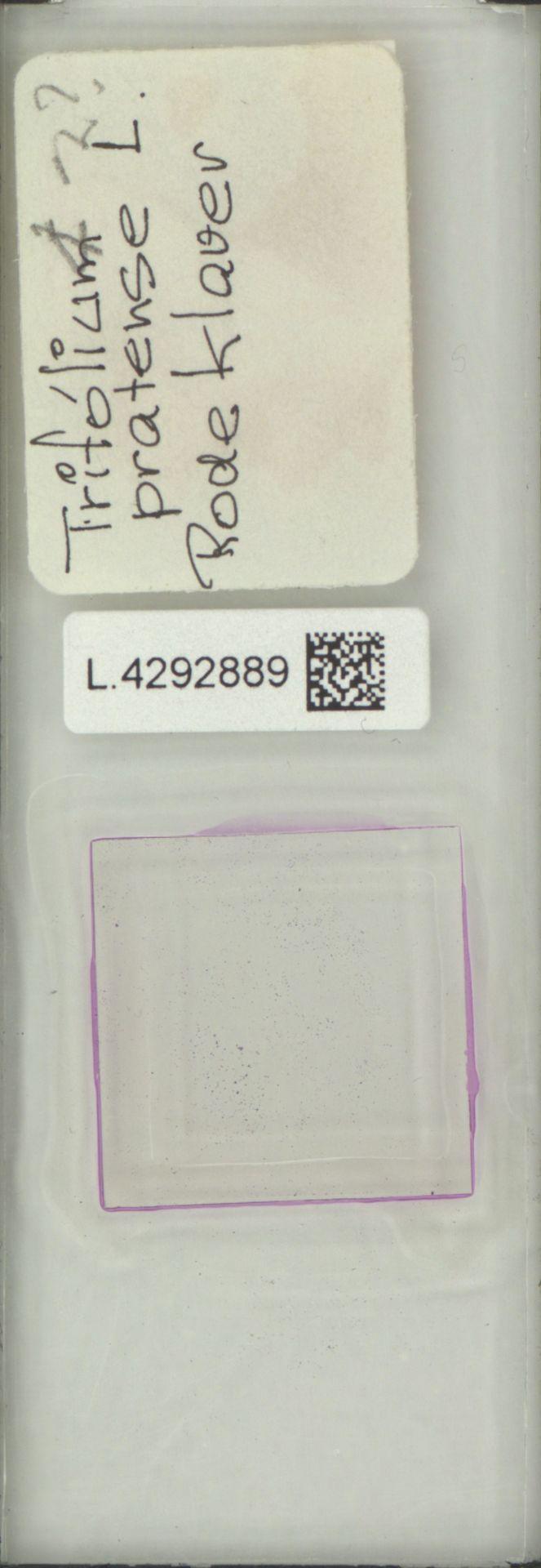 L.4292889 | Trifolium pratense L.