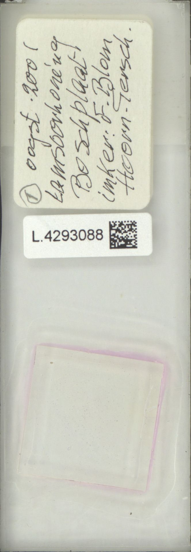 L.4293088 | Limonium vulgare Mill.