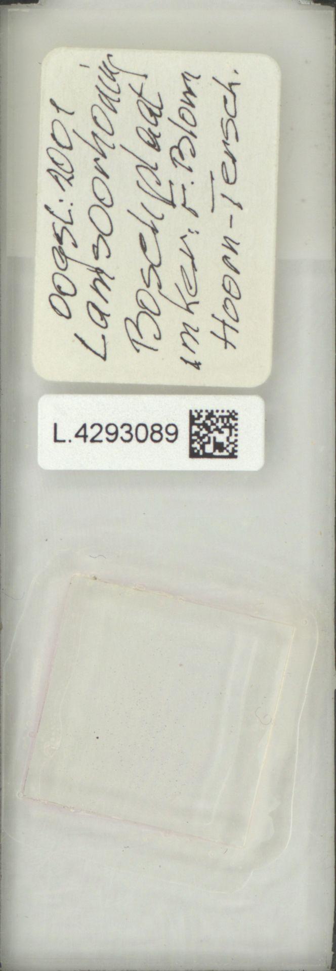 L.4293089 | Limonium vulgare Mill.