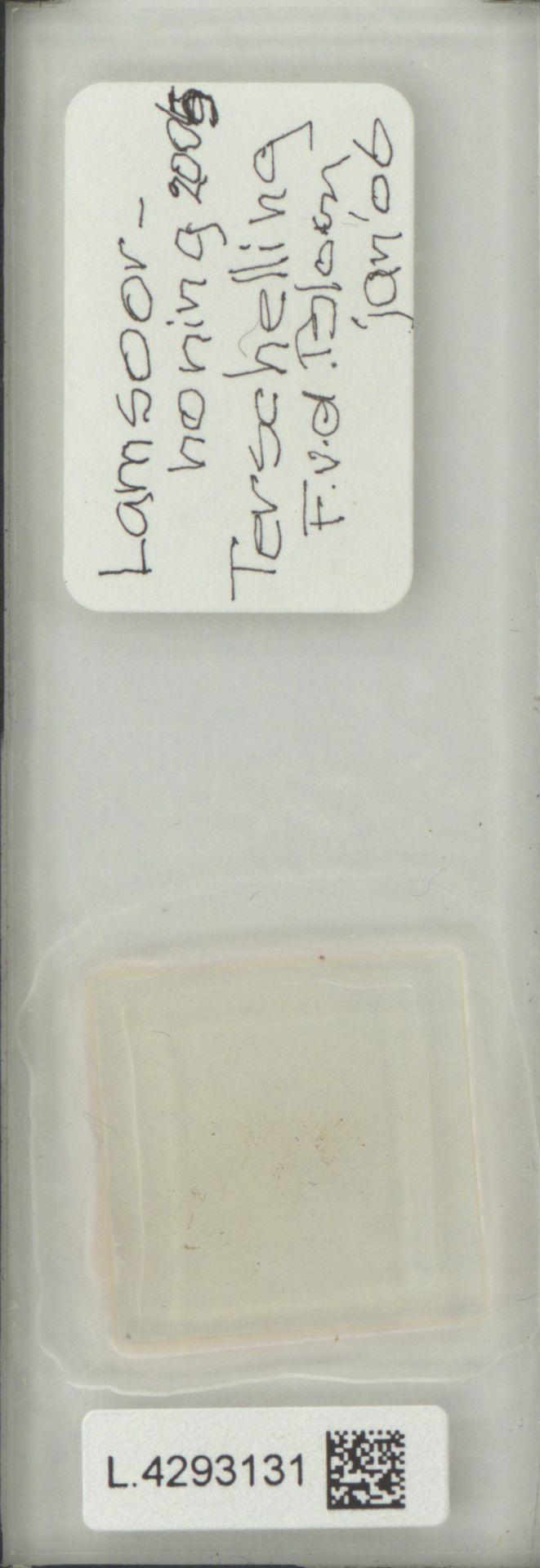 L.4293131   Limonium vulgare Mill.