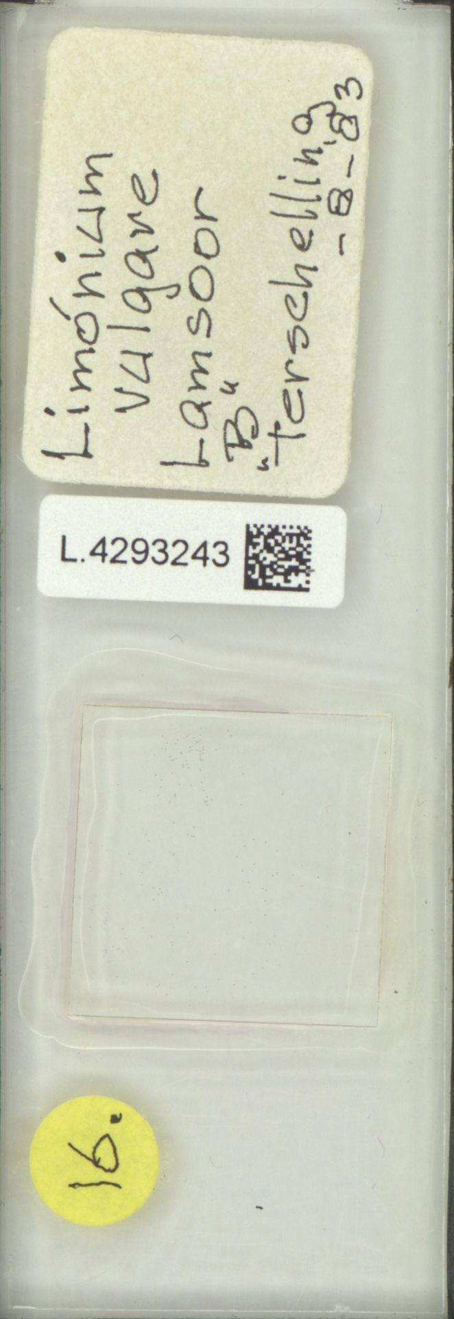 L.4293243 | Limonium vulgare Mill.