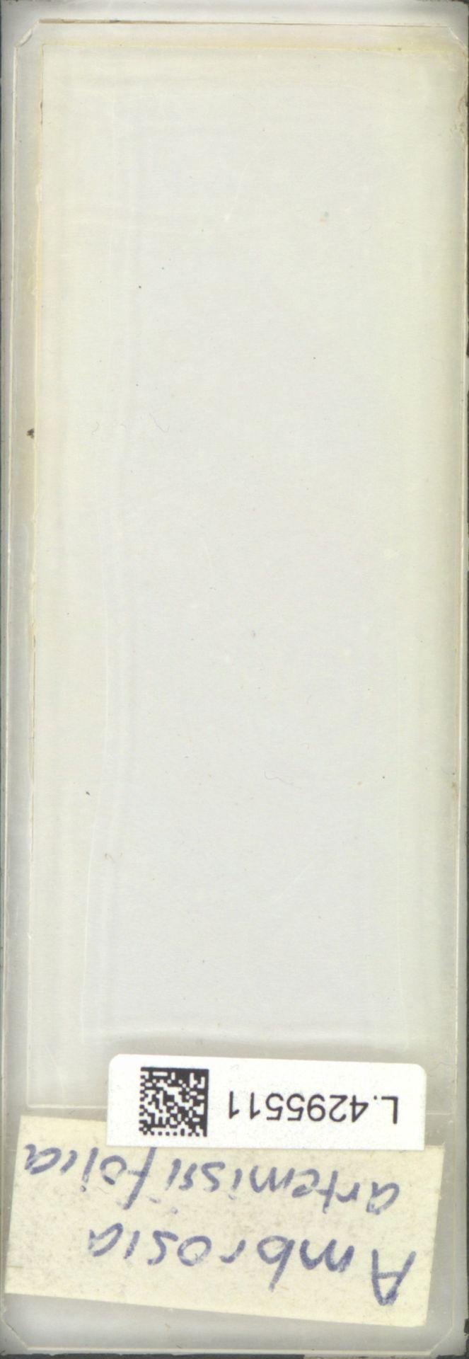 L.4295511 | Ambrosia artemisiifolia L.