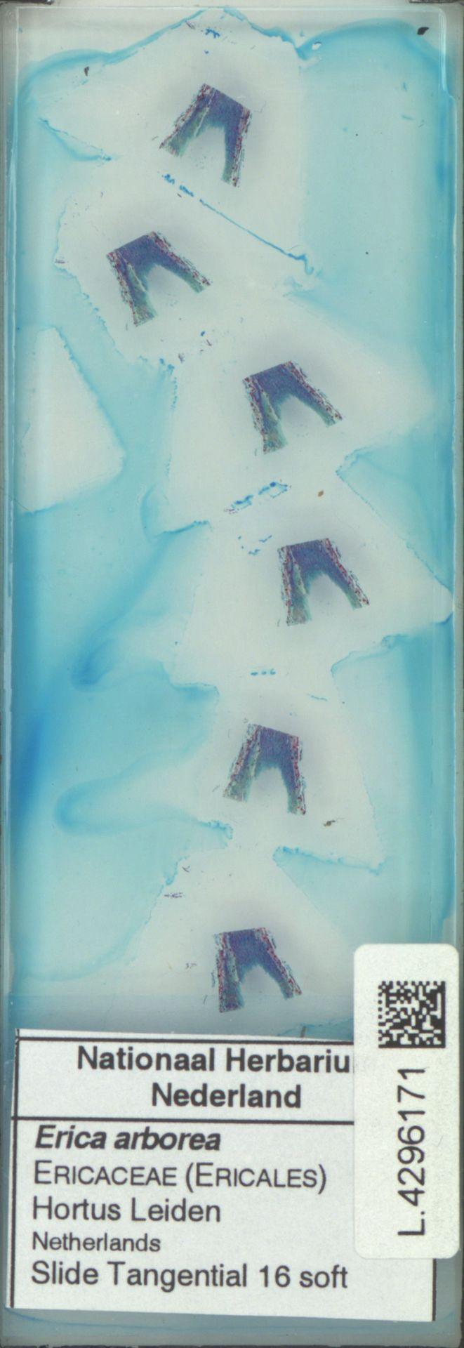 L.4296171 | Erica arborea L.