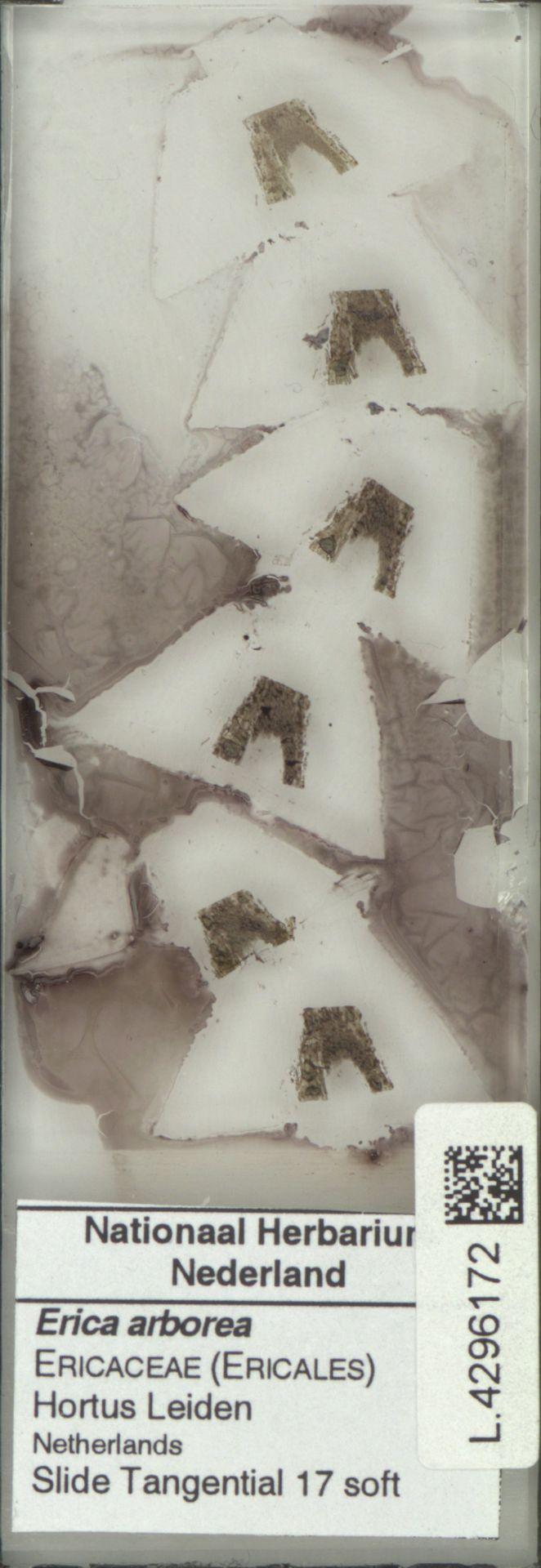 L.4296172 | Erica arborea L.