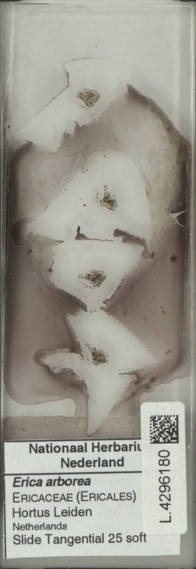 L.4296180   Erica arborea L.