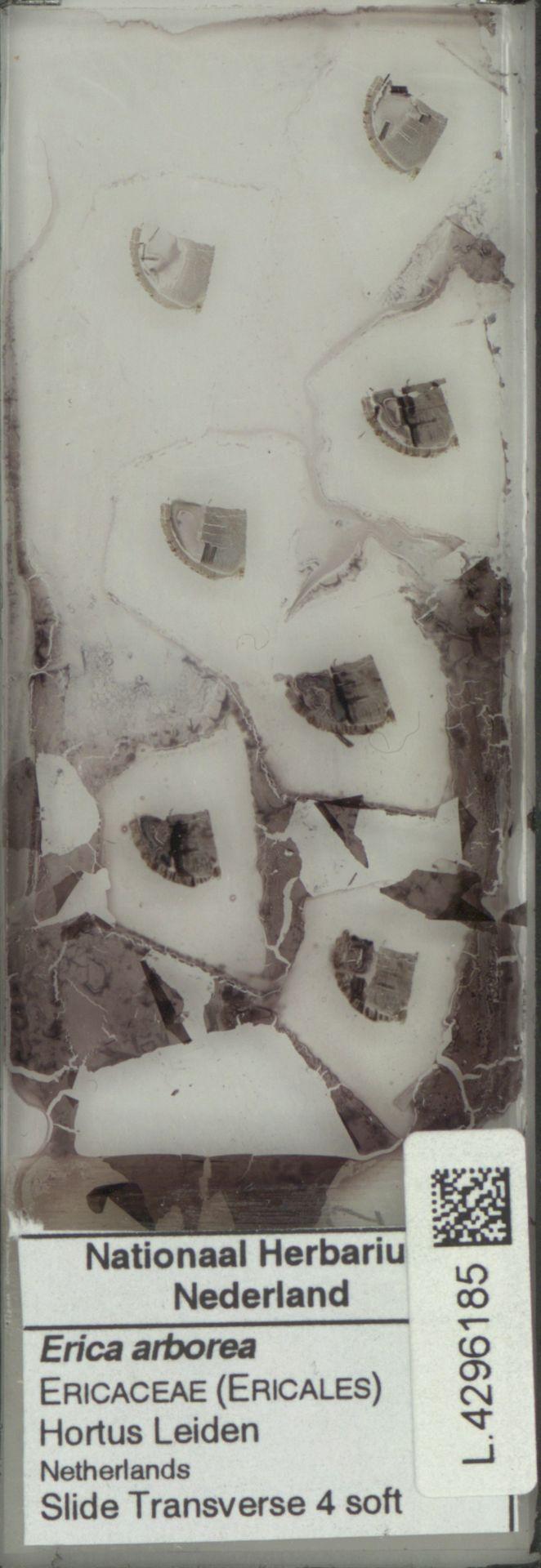 L.4296185 | Erica arborea L.