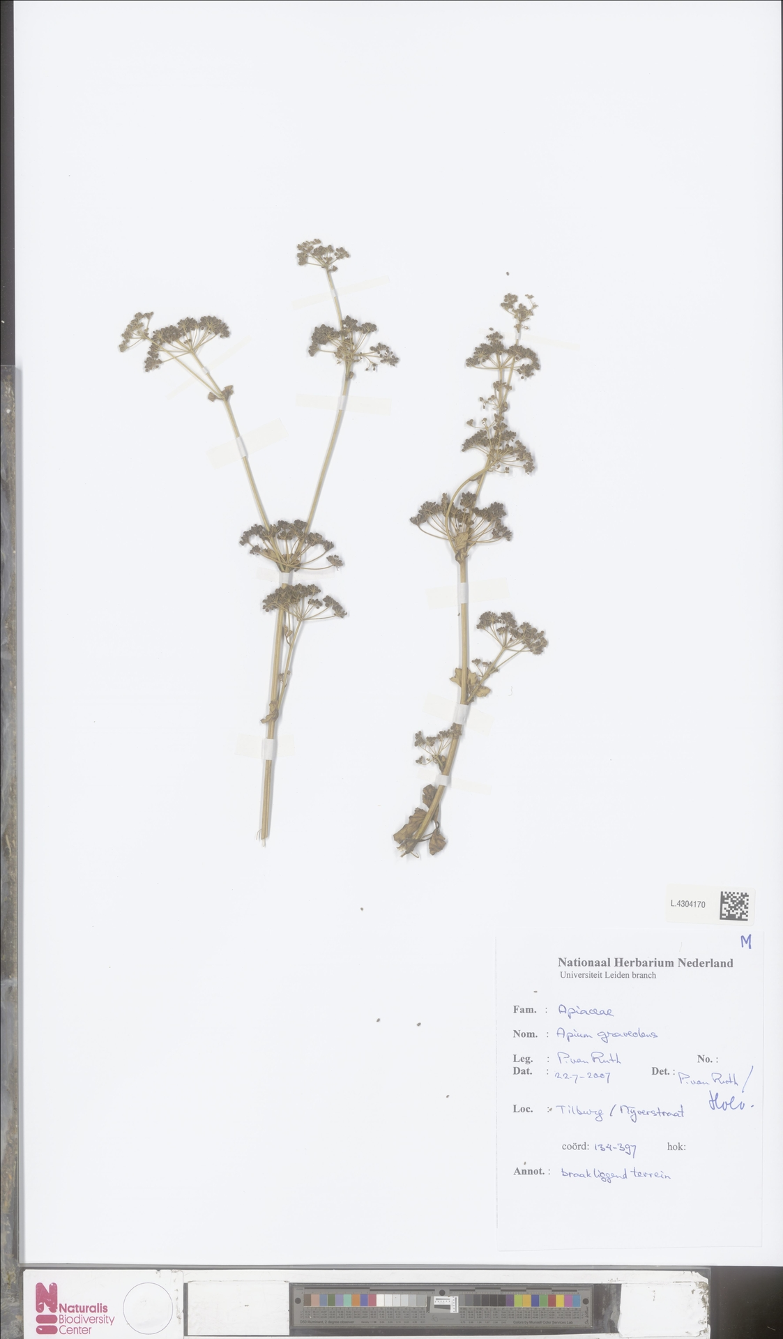 L.4304170 | Apium graveolens L.