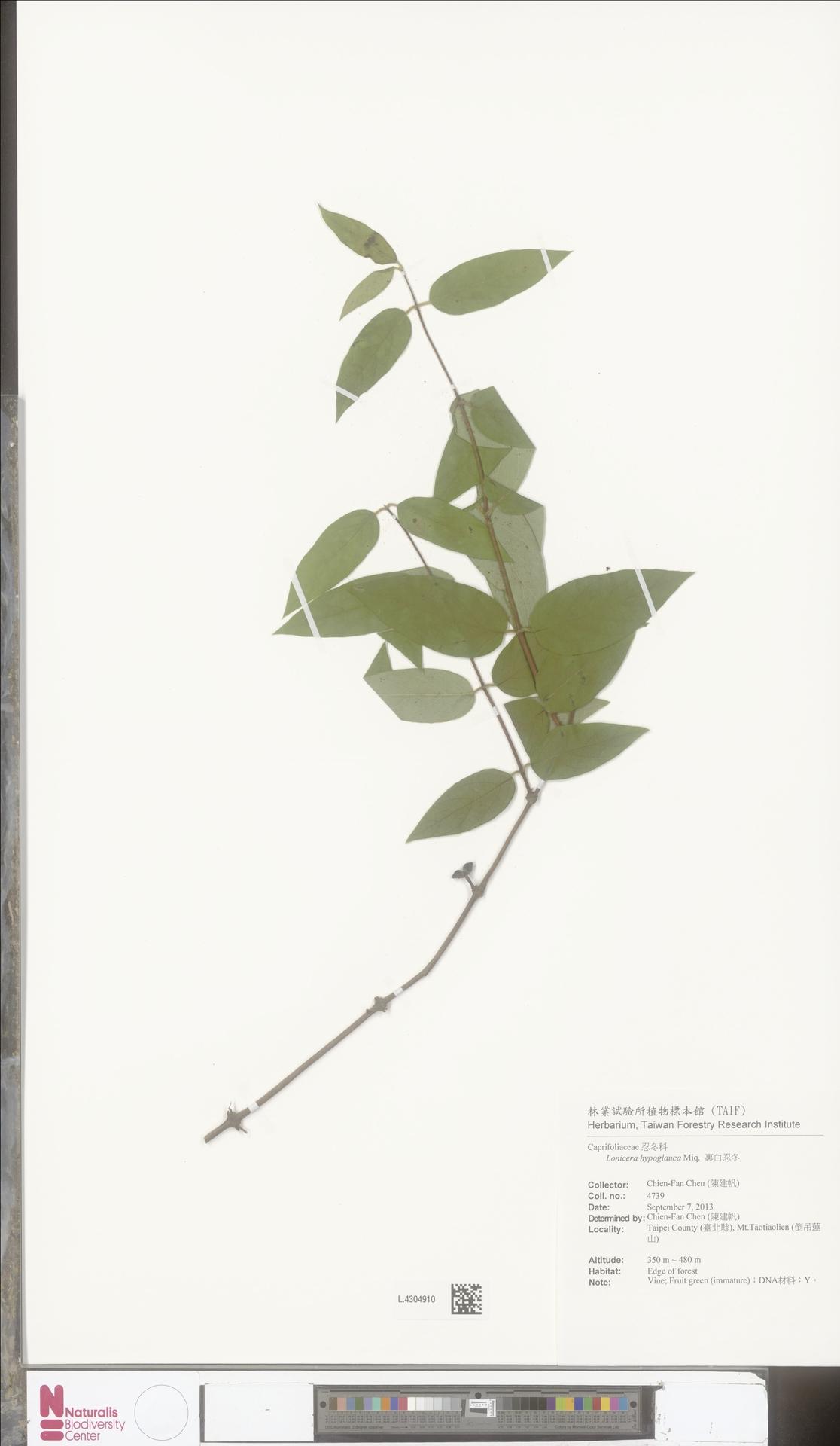L.4304910 | Lonicera hypoglauca Miq.