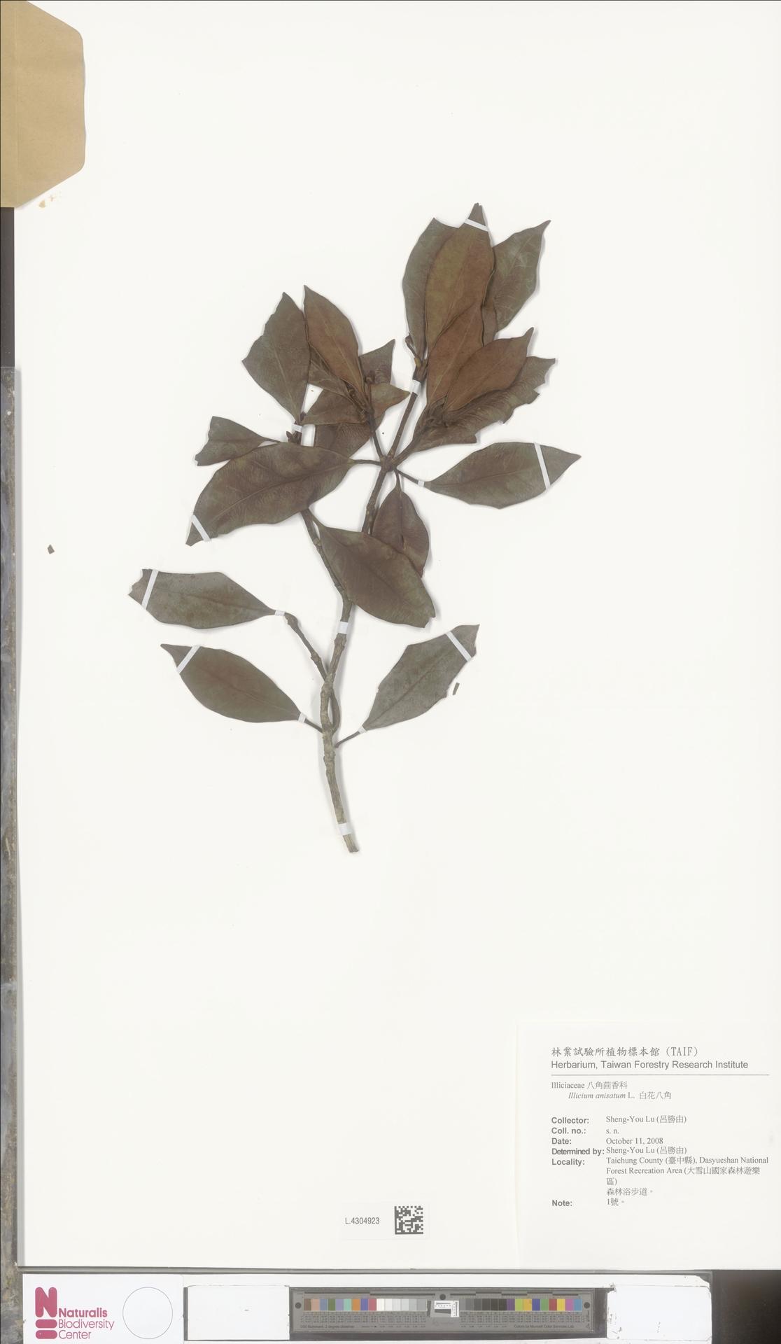 L.4304923 | Illicium anisatum L.