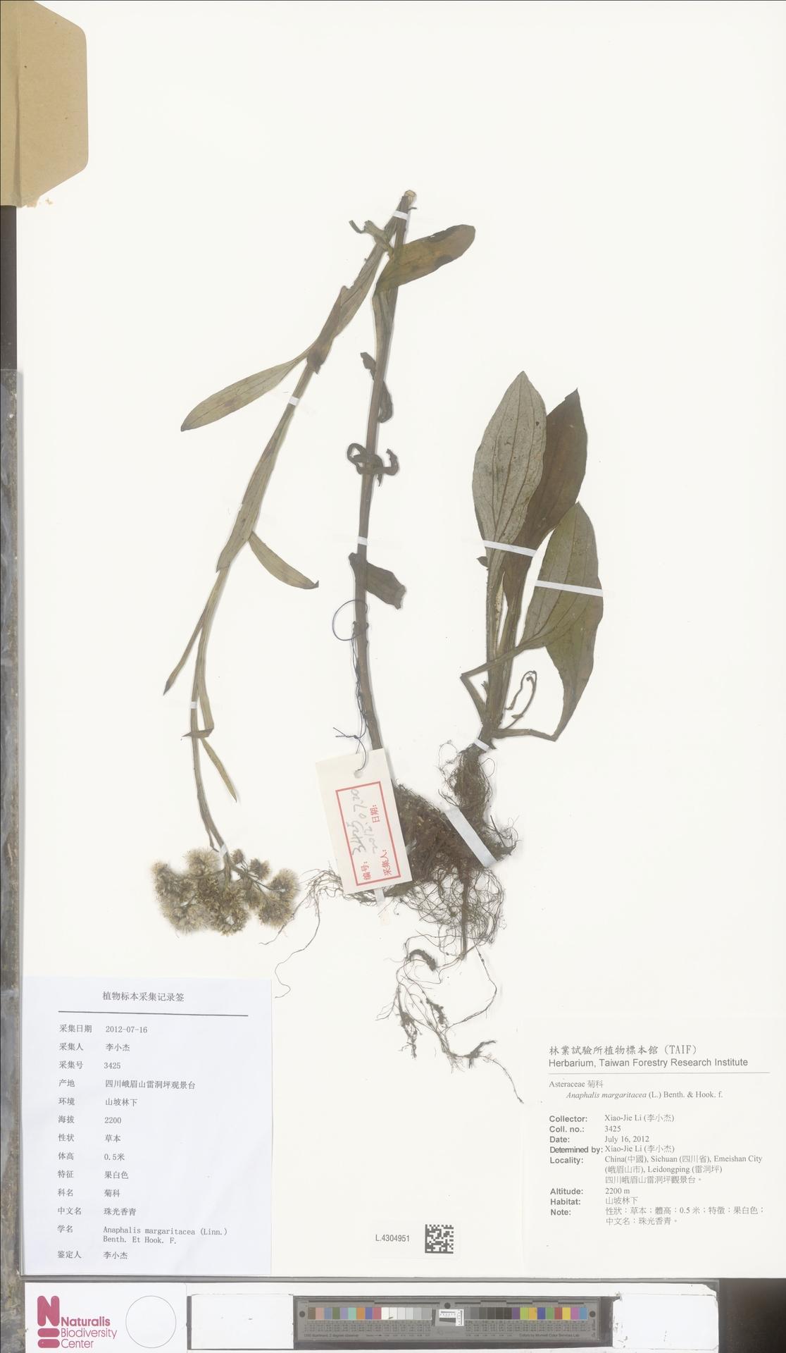 L.4304951 | Anaphalis margaritacea (L.) Benth. & Hook.f.