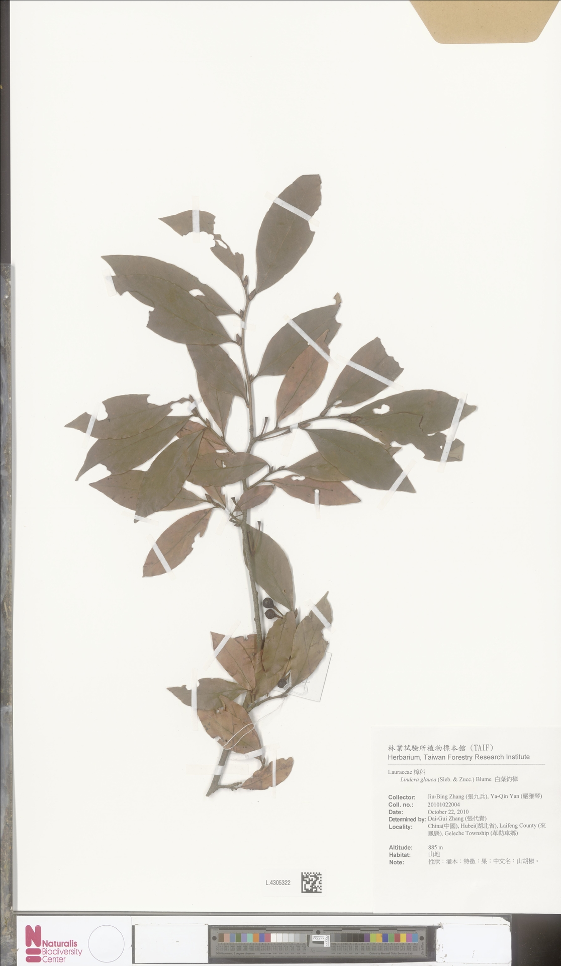 L.4305322   Lindera glauca Blume