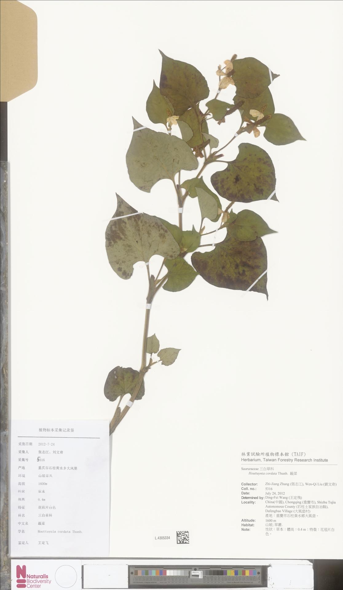 L.4305334 | Houttuynia cordata Thunb.