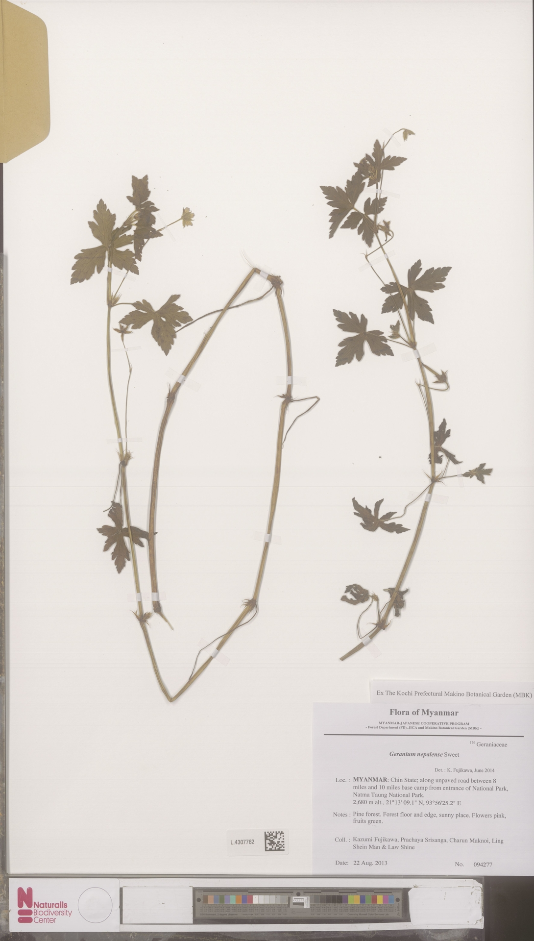 L.4307762 | Geranium nepalense Sweet