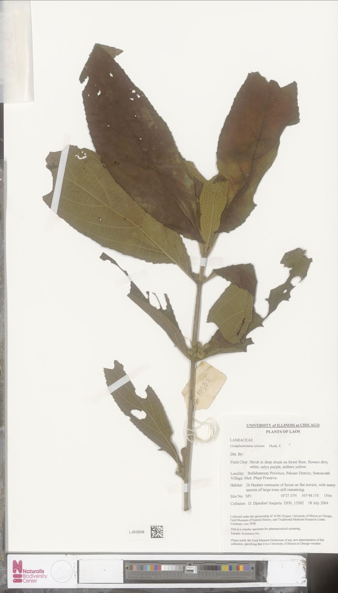 L.4310249 | Gomphostemma niveum Hook.f.