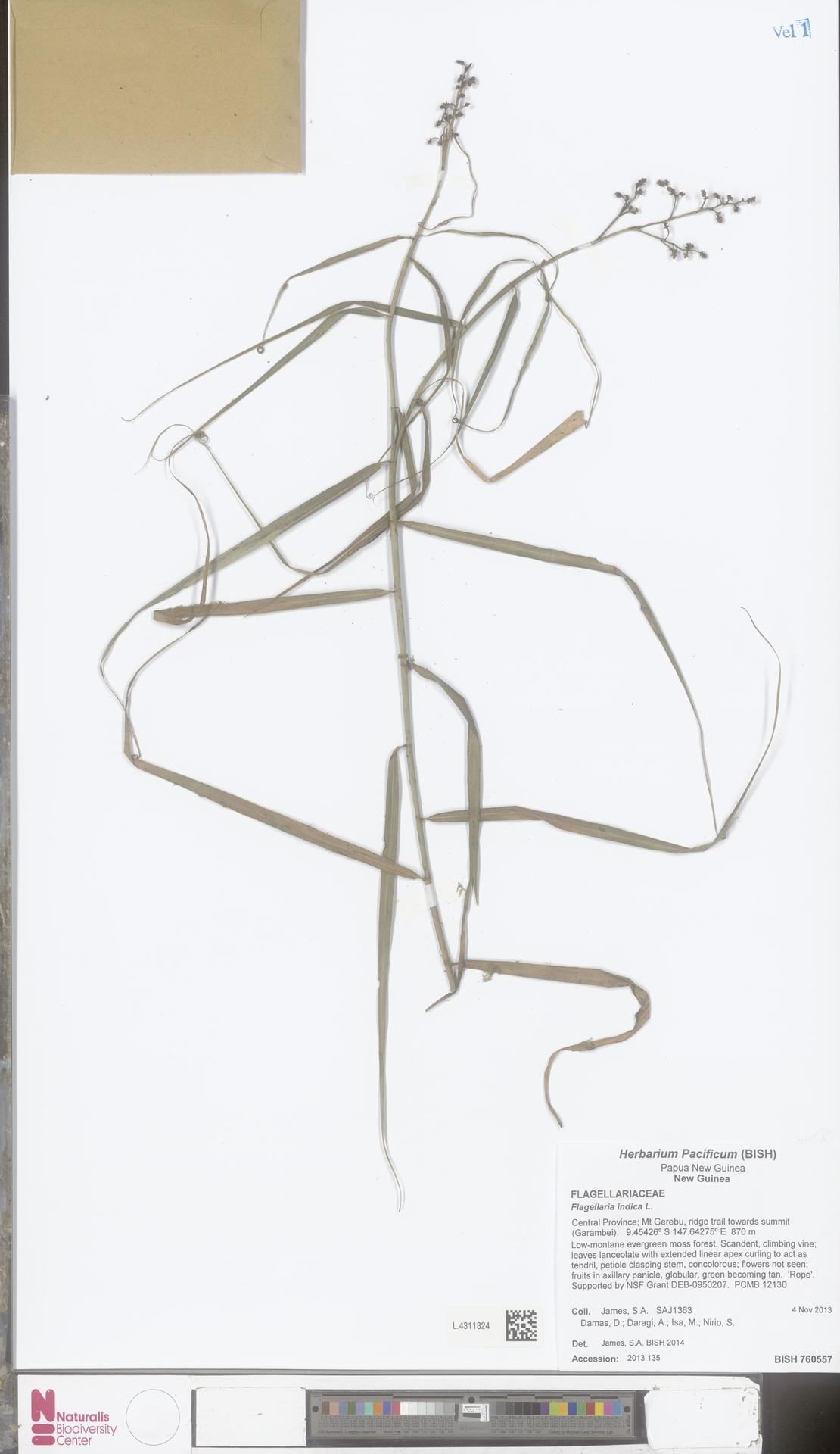 L.4311824 | Flagellaria indica L.
