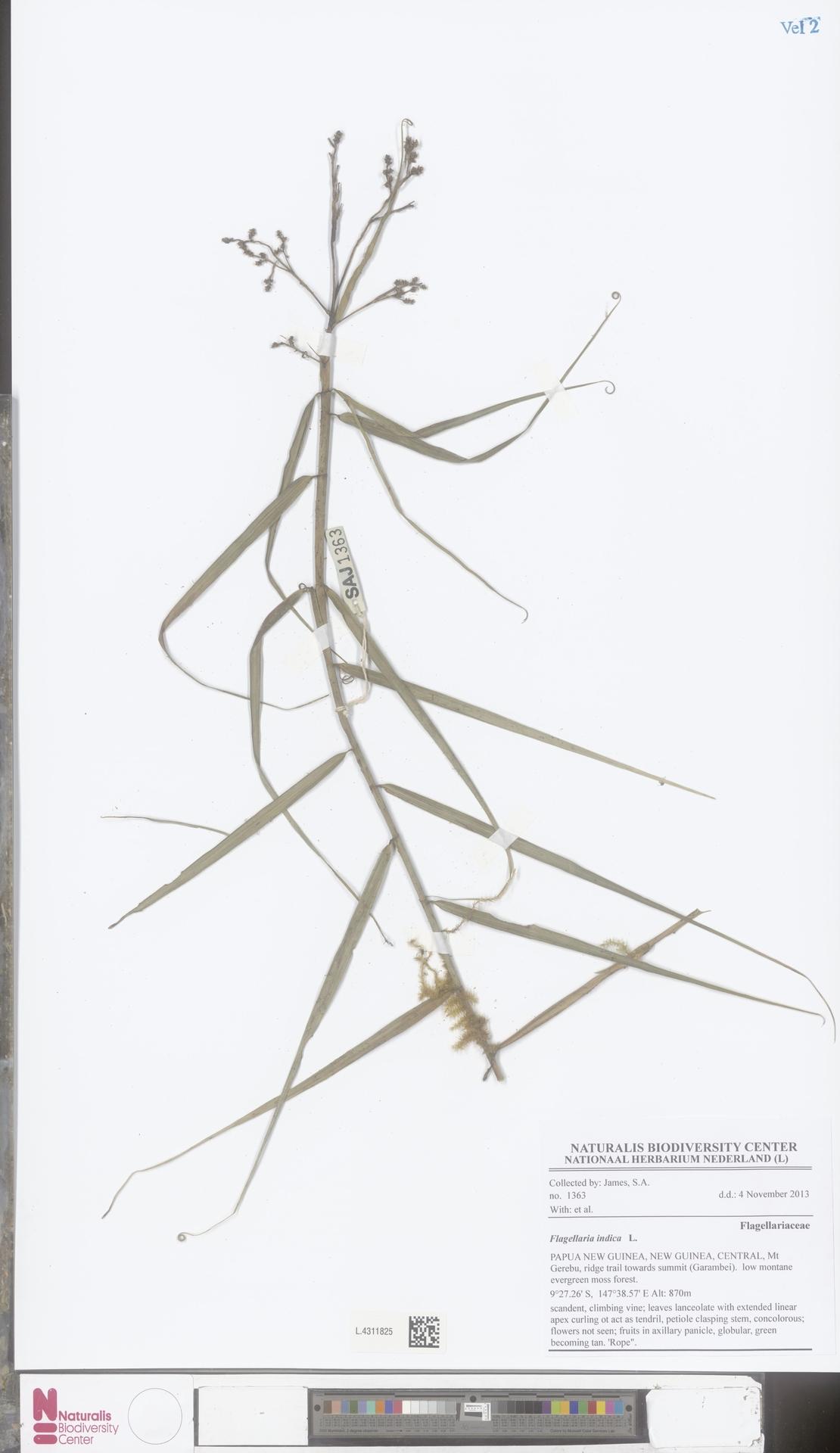 L.4311825 | Flagellaria indica L.