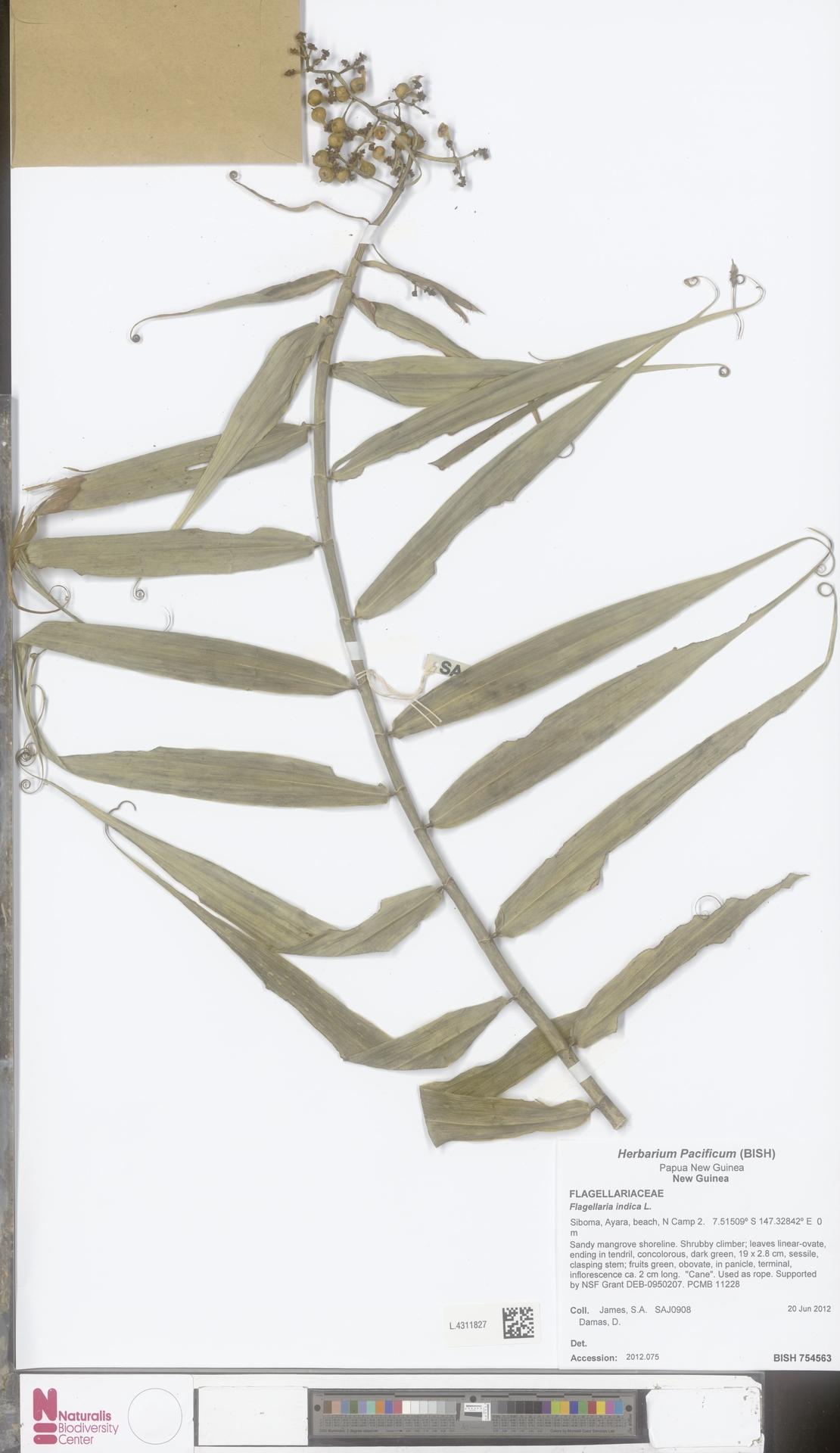 L.4311827 | Flagellaria indica L.