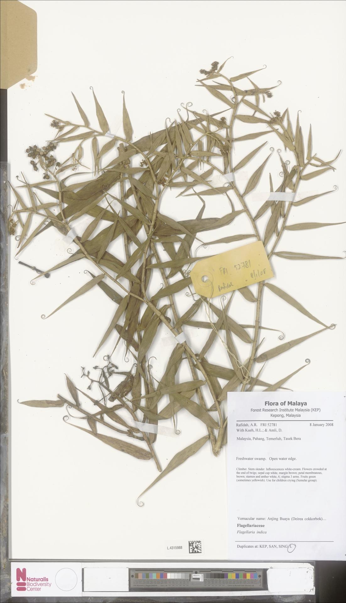 L.4315988 | Flagellaria indica L.