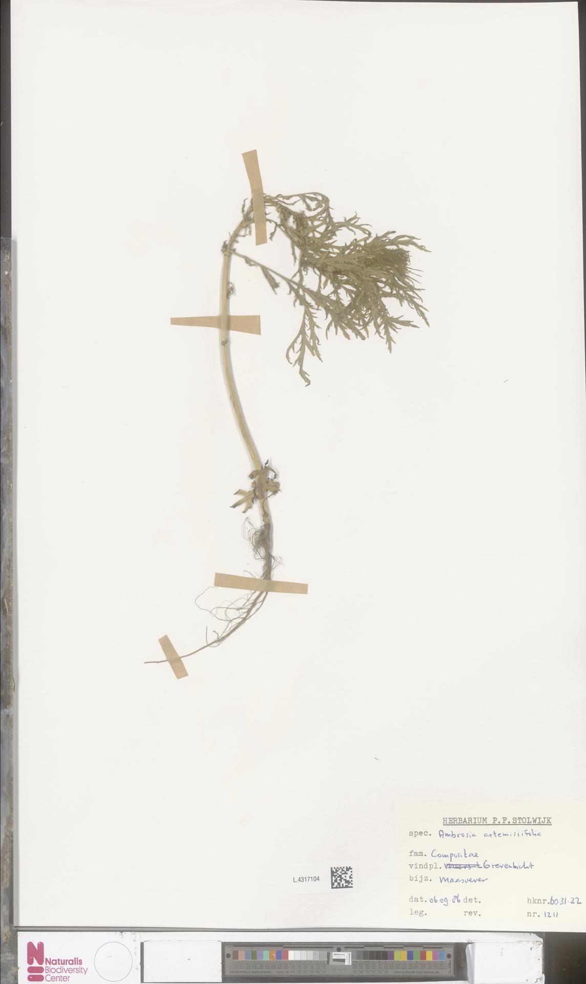 L.4317104   Ambrosia artemisiifolia L.