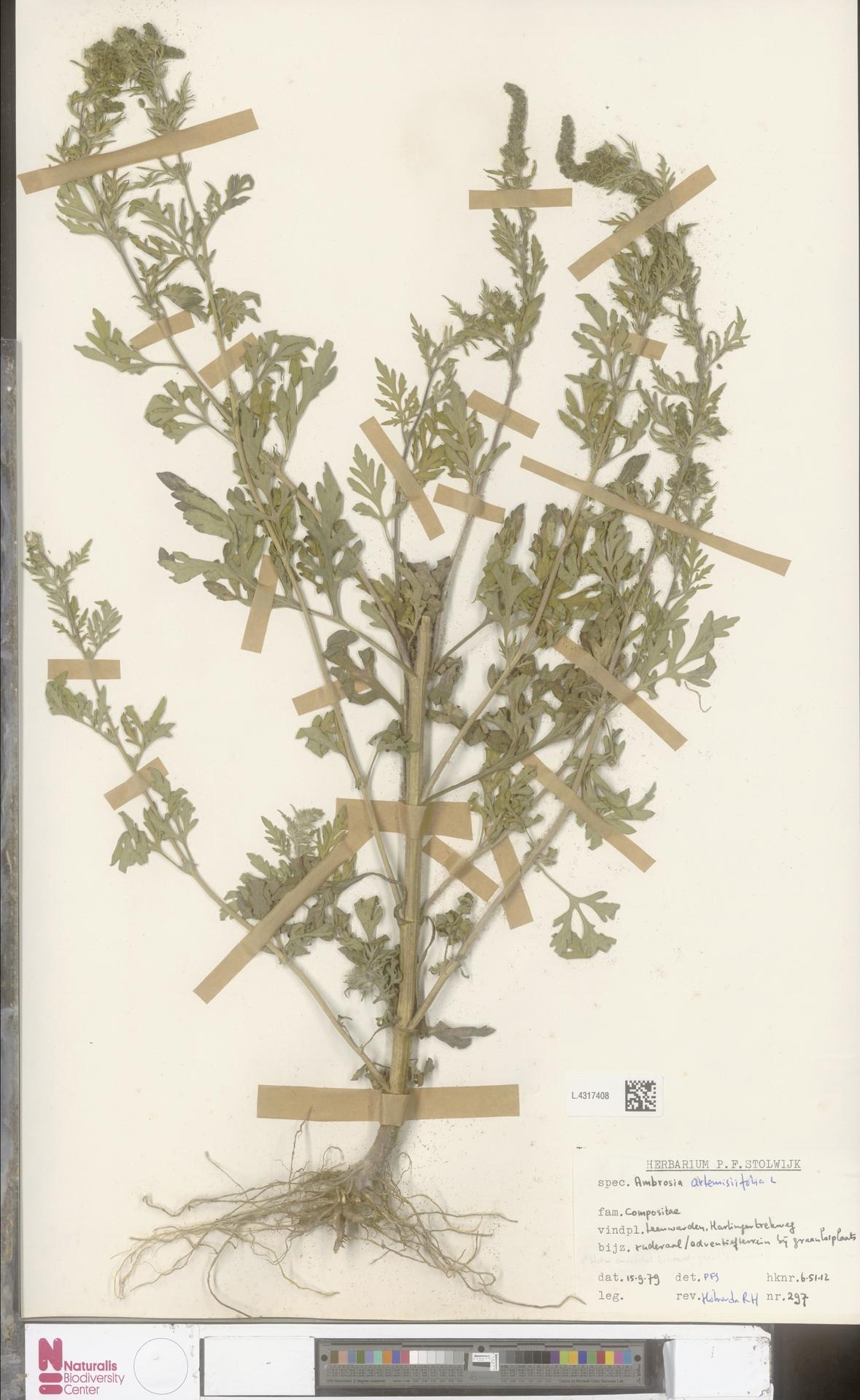 L.4317408 | Ambrosia artemisiifolia L.