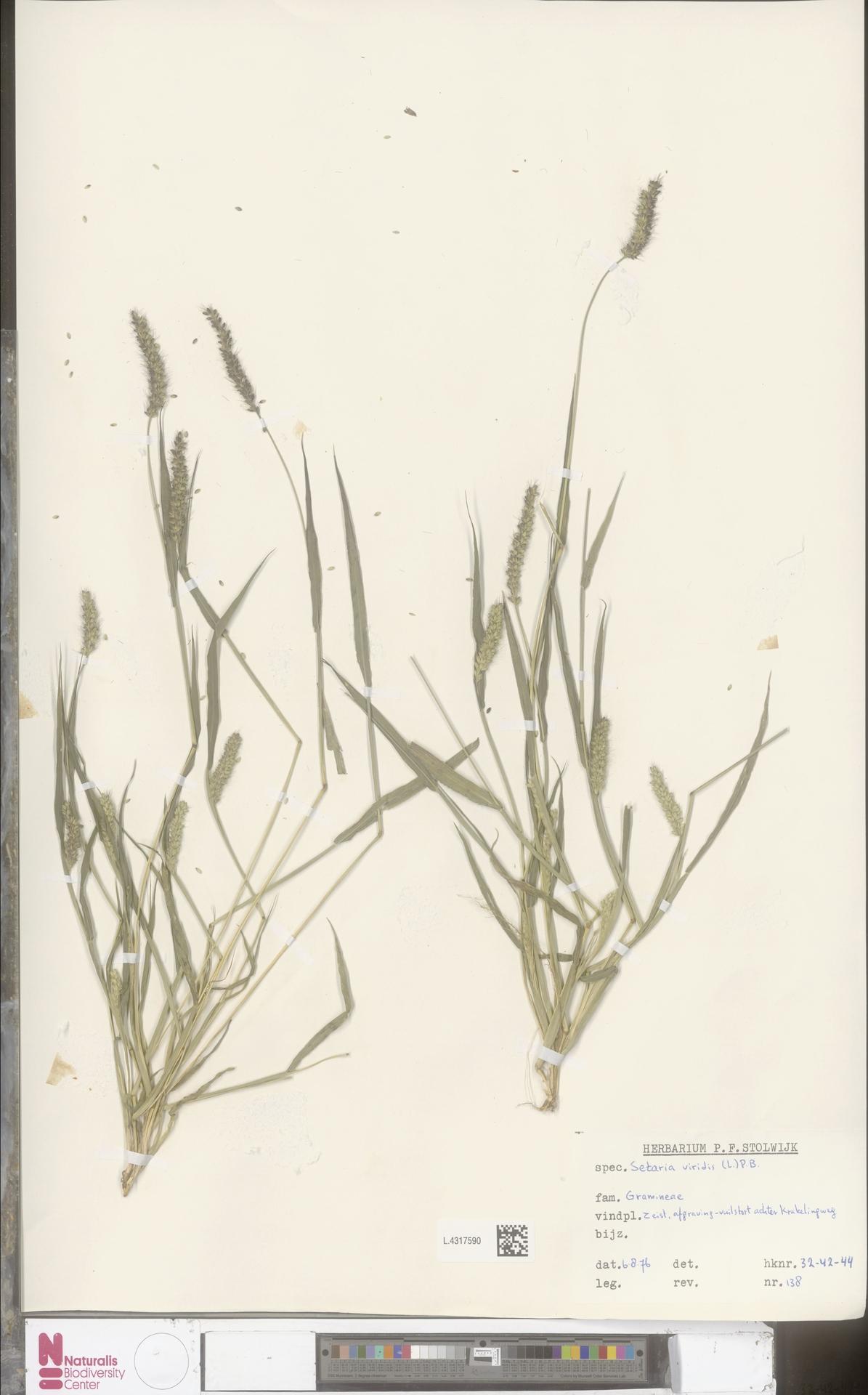 L.4317590 | Setaria viridis (L.) P.Beauv.