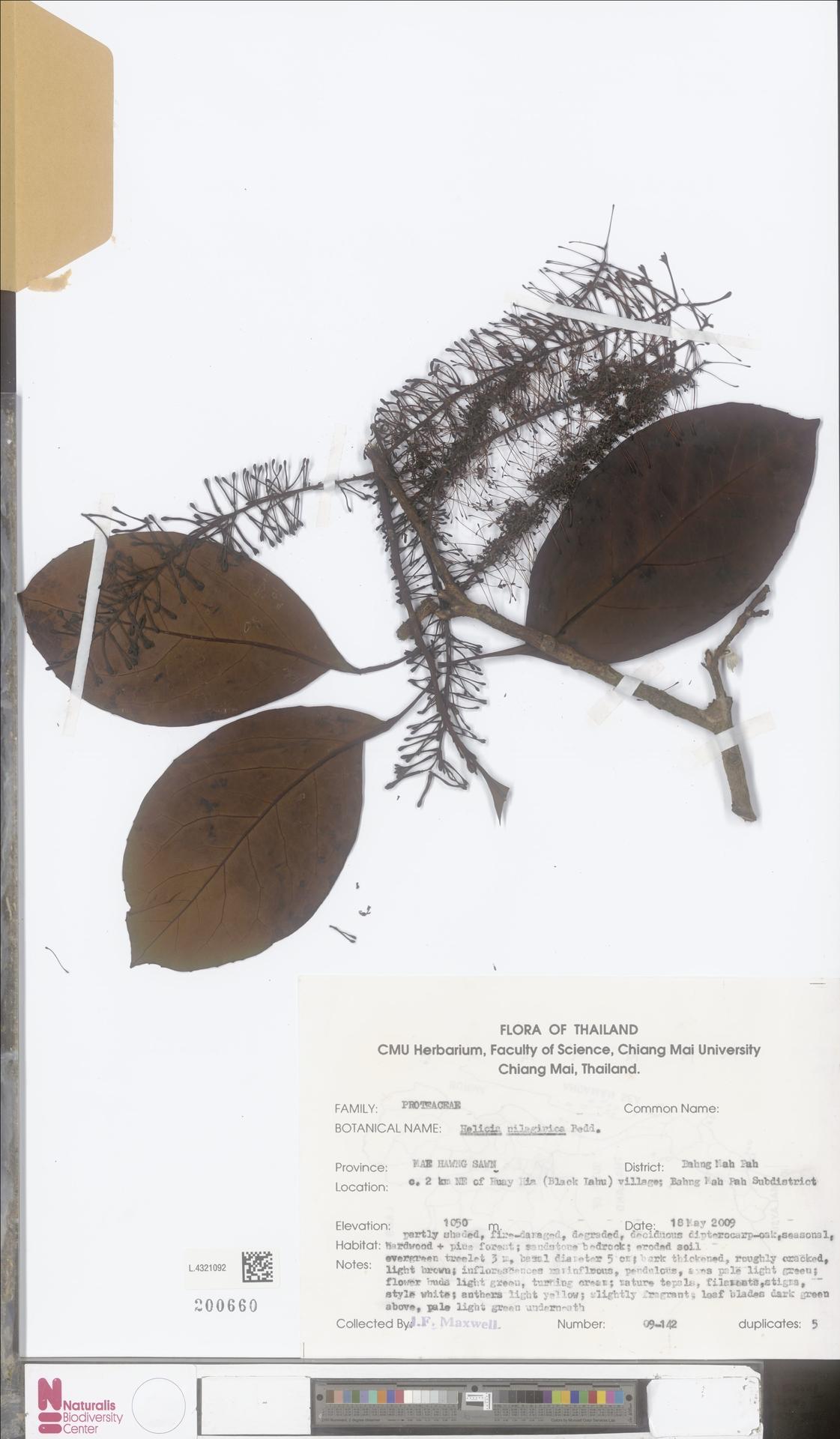 L.4321092 | Helicia nilagirica Bedd.