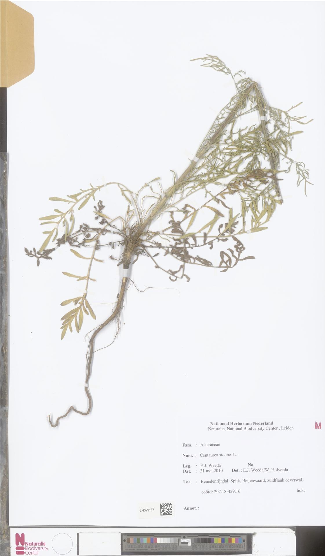 L.4329187   Centaurea stoebe L.