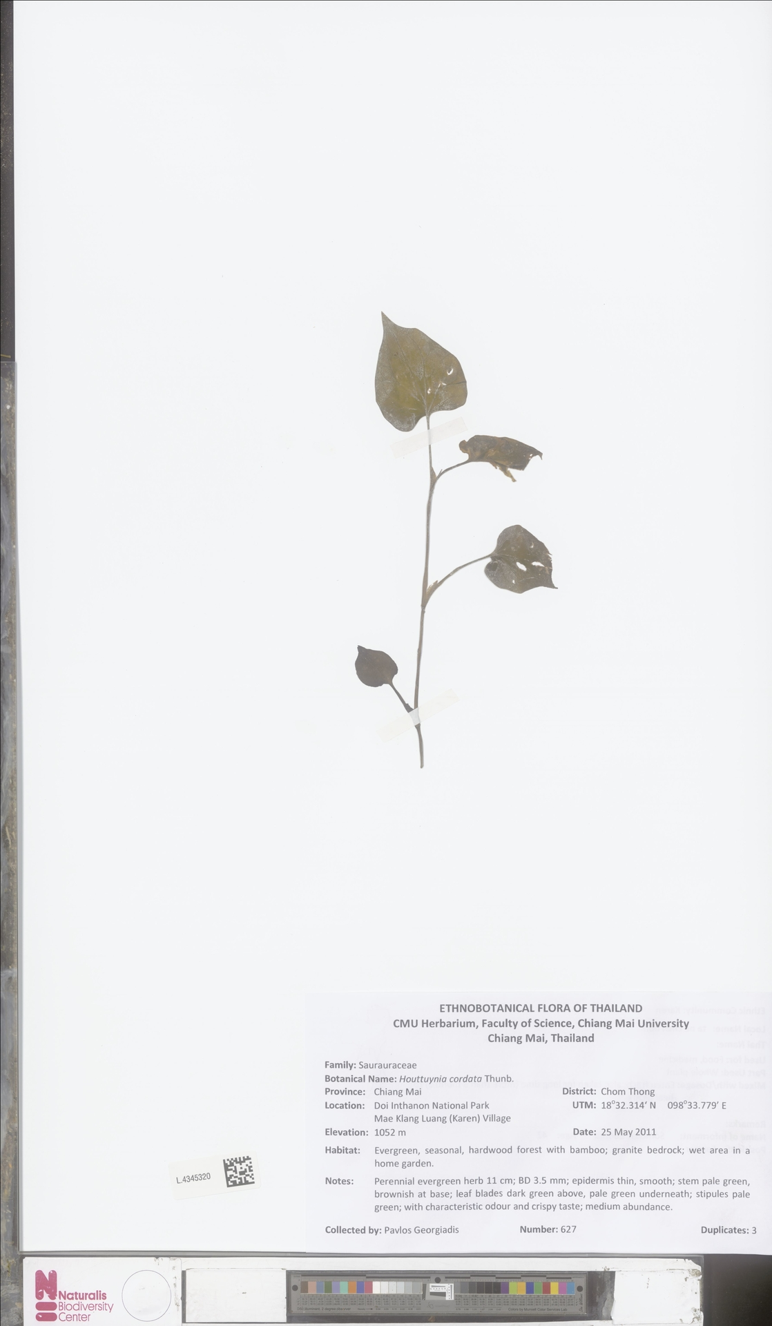 L.4345320 | Houttuynia cordata Thunb.