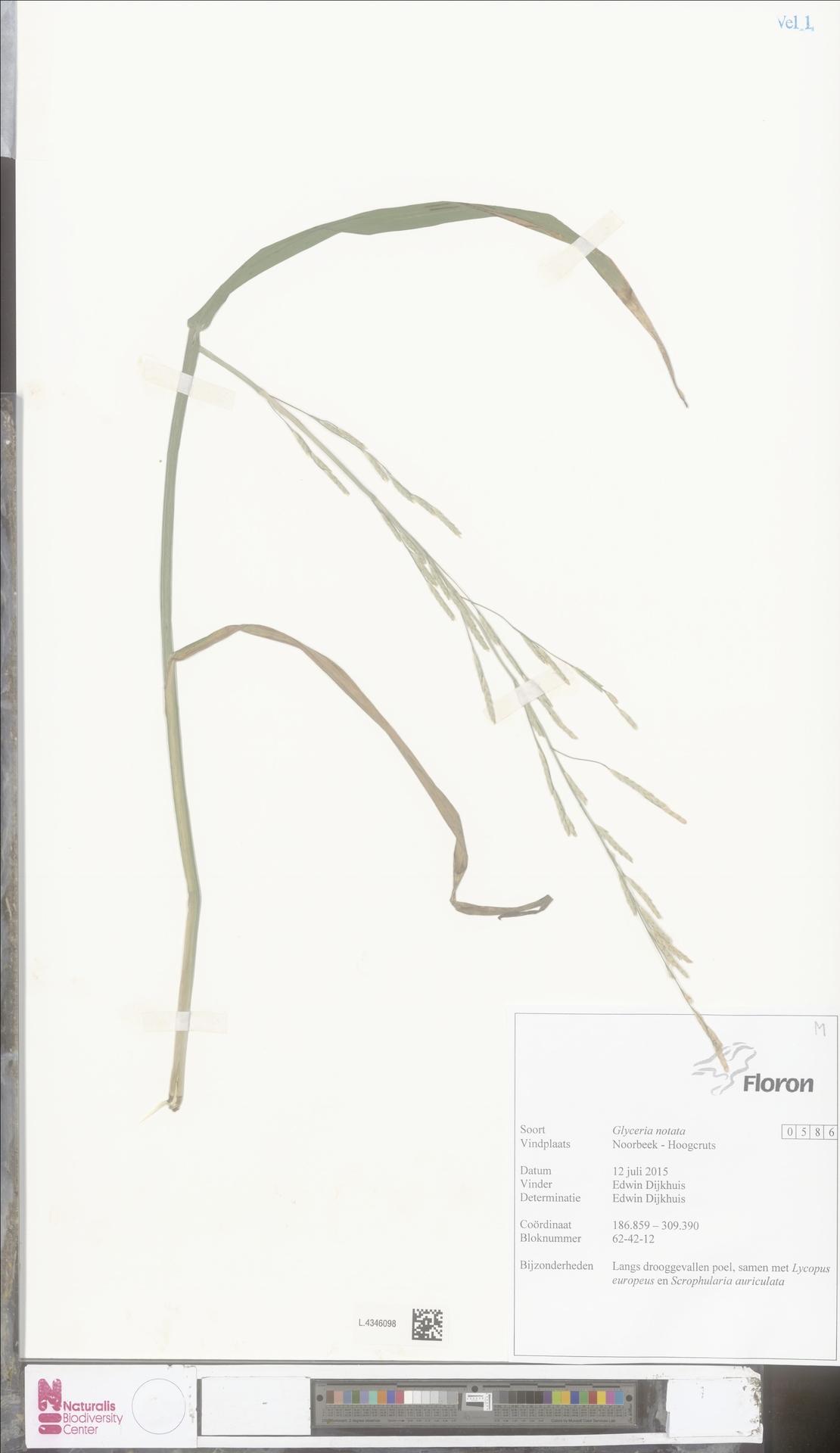 L.4346098   Glyceria notata Chevall.