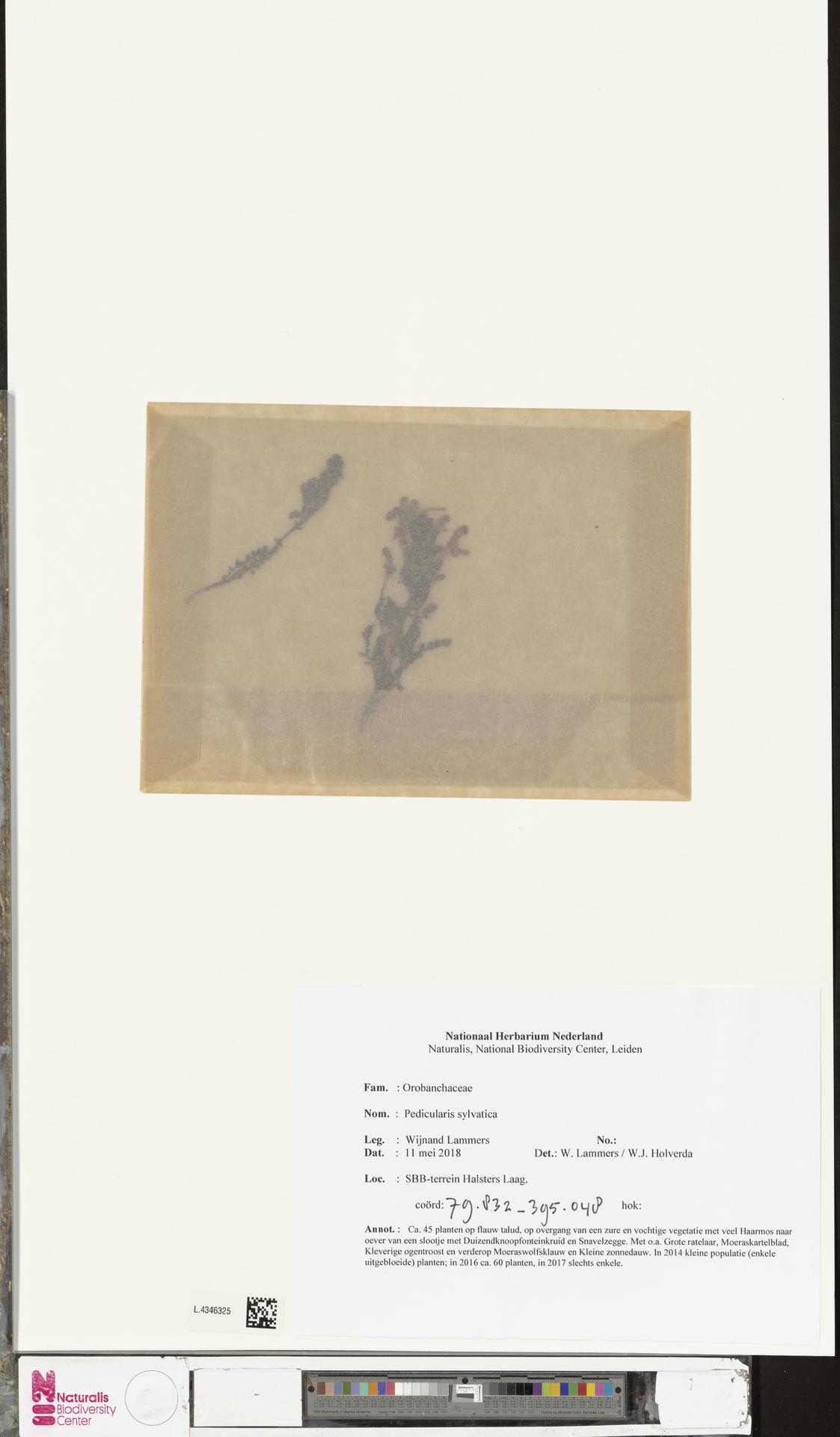 L.4346325 | Pedicularis sylvatica L.
