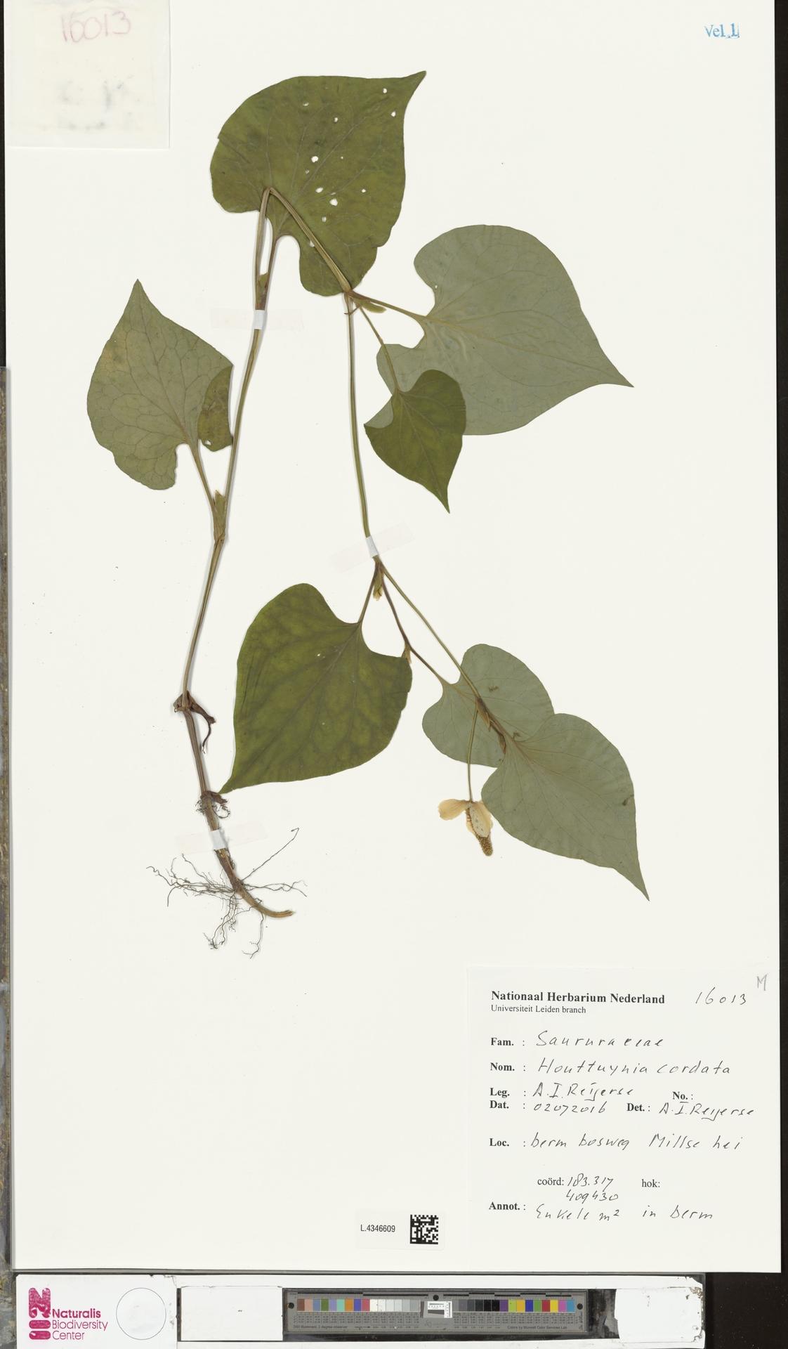 L.4346609 | Houttuynia cordata Thunb.