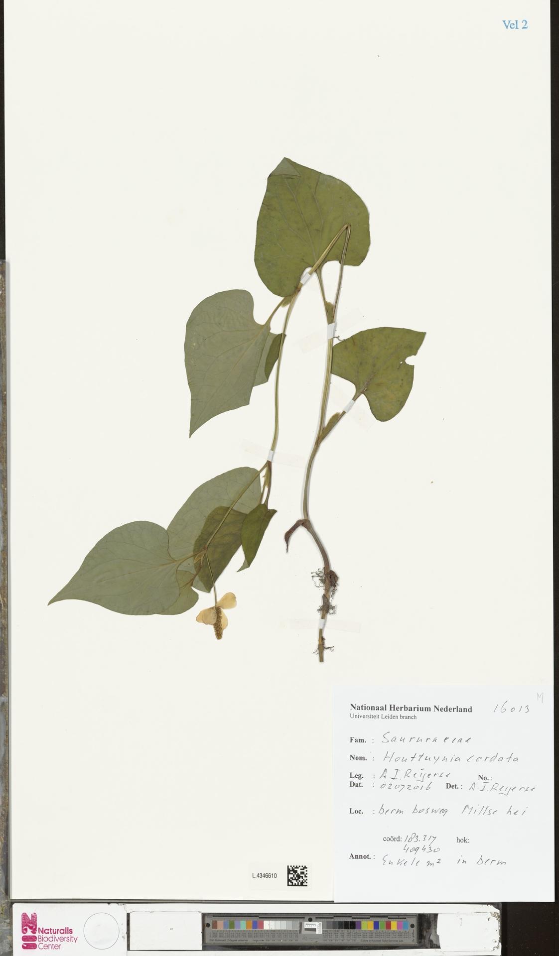 L.4346610   Houttuynia cordata Thunb.