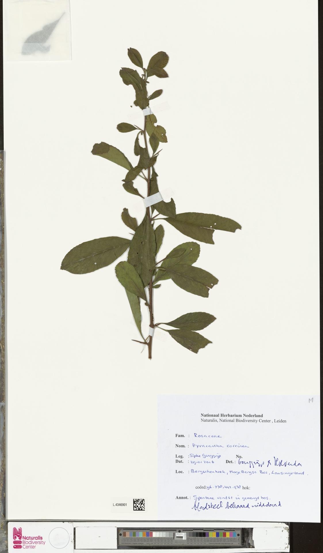 L.4346901 | Pyracantha coccinea M.Roem.