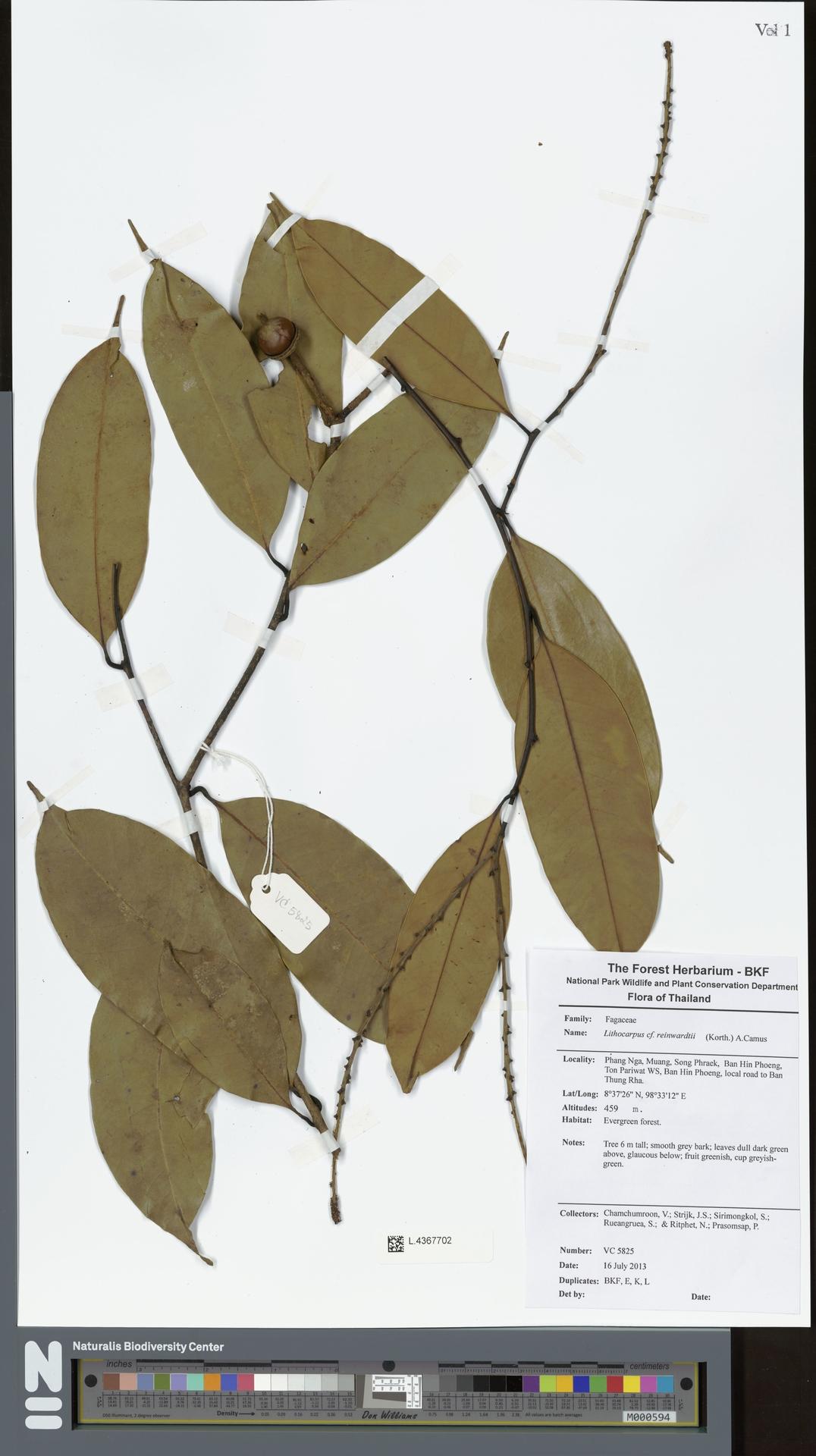 L.4367702   Lithocarpus reinwardtii (Korth.) A.Camus
