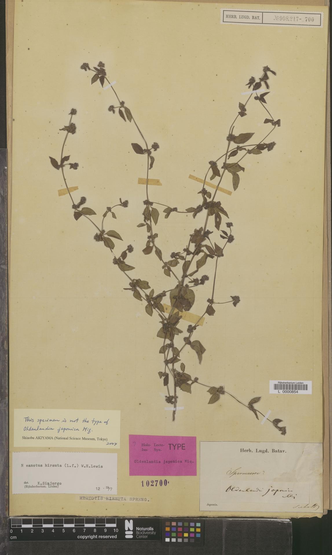 L  0000854 | Neanotis hirsuta (L.f.) W.H.Lewis