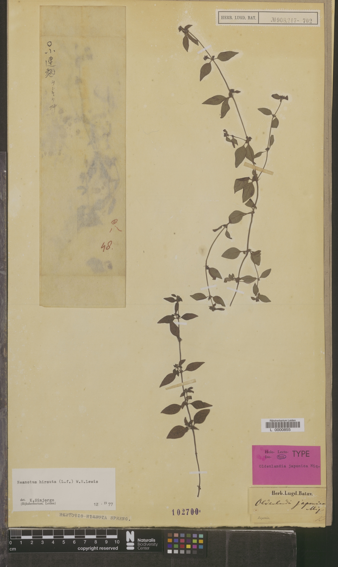 L  0000855 | Neanotis hirsuta (L.f.) W.H.Lewis