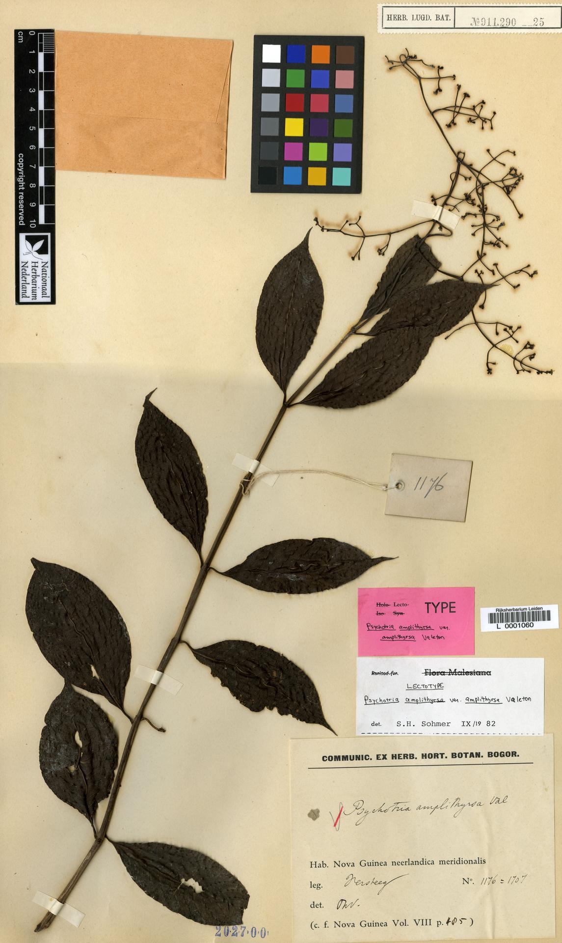 L  0001060 | Psychotria amplithyrsa var. amplithyrsa Valeton