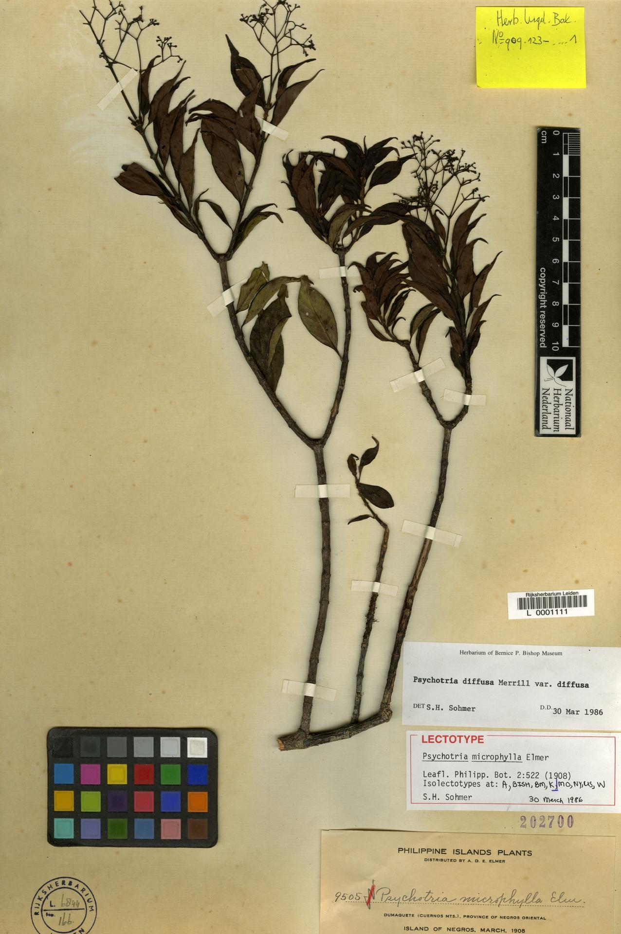 L  0001111 | Psychotria diffusa var. diffusa