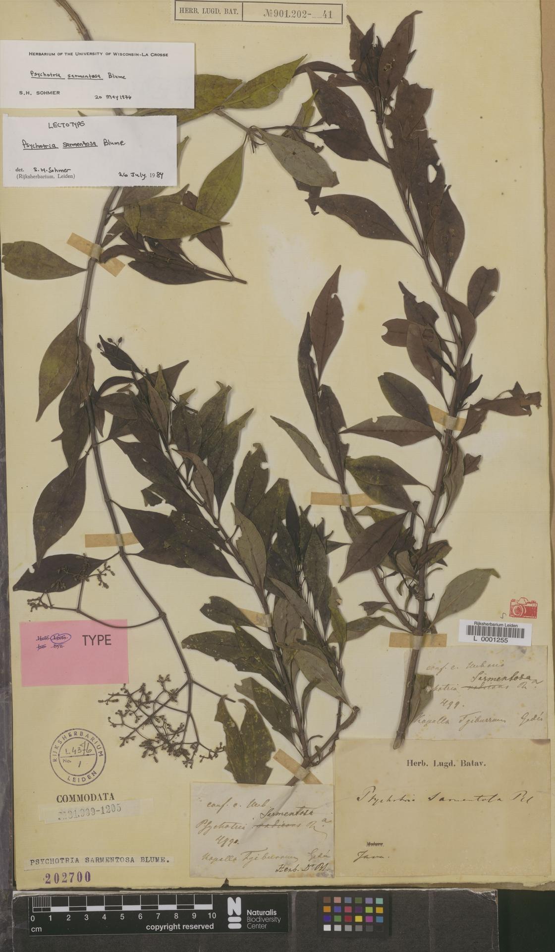 L  0001255 | Psychotria sarmentosa Blume