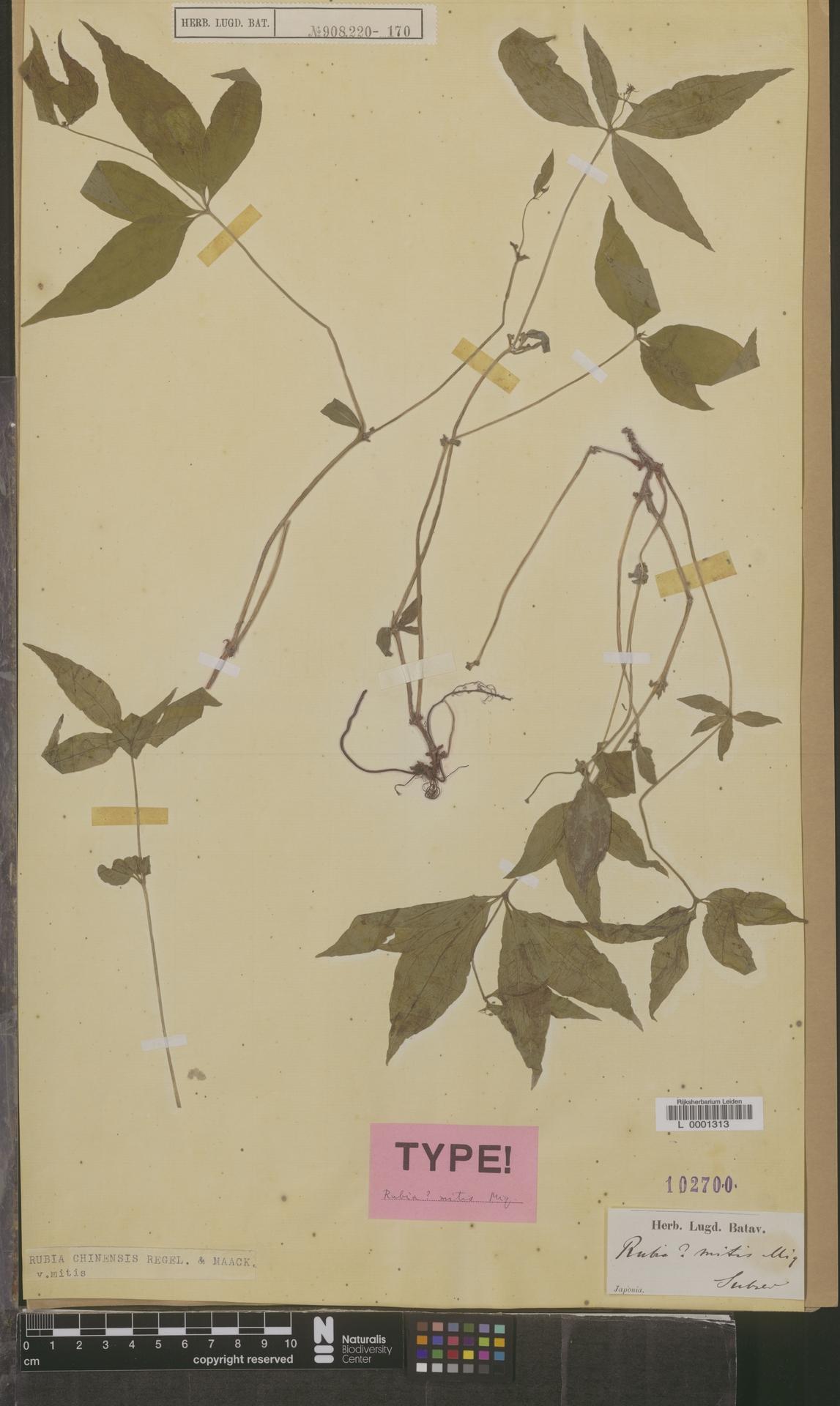 L  0001313 | Rubia chinensis var. mitis (Miq.) Kitag.