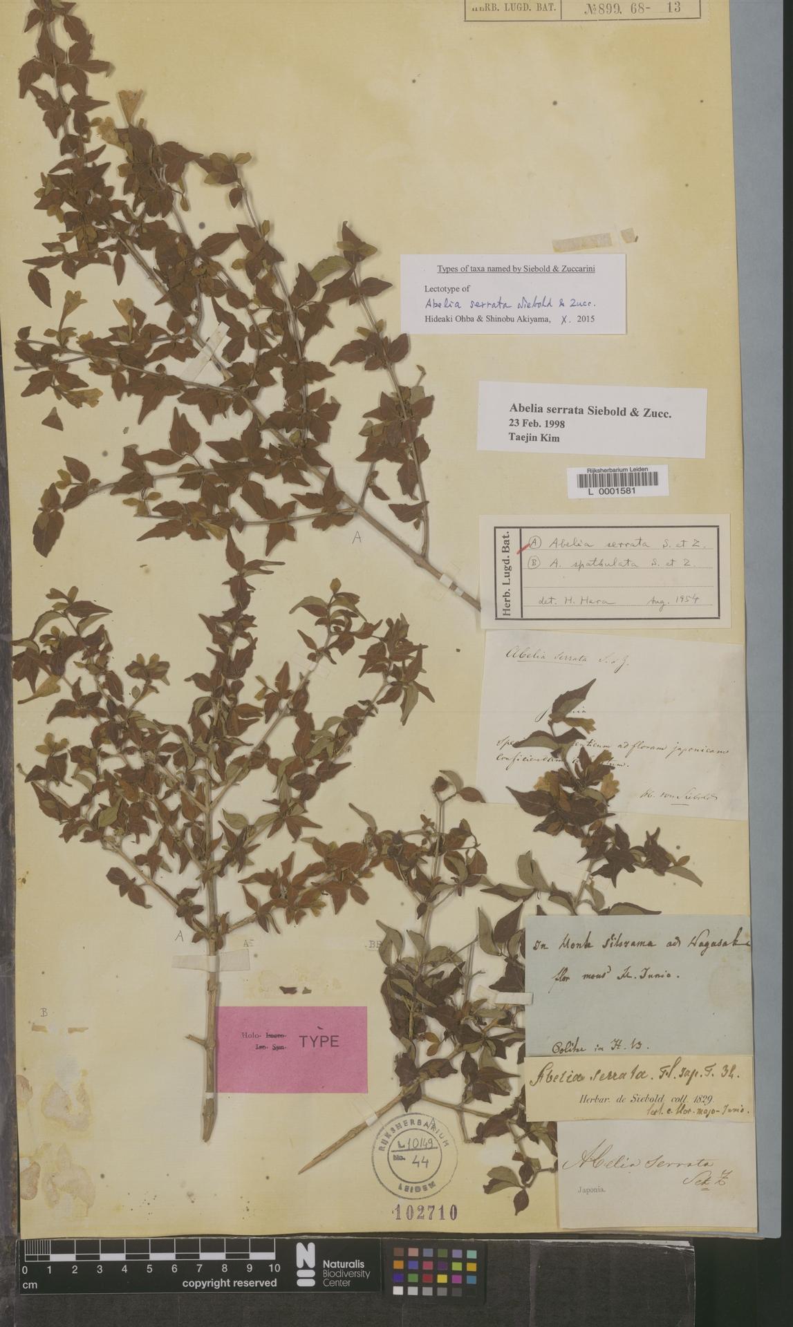 L  0001581 | Abelia serrata Siebold & Zucc.