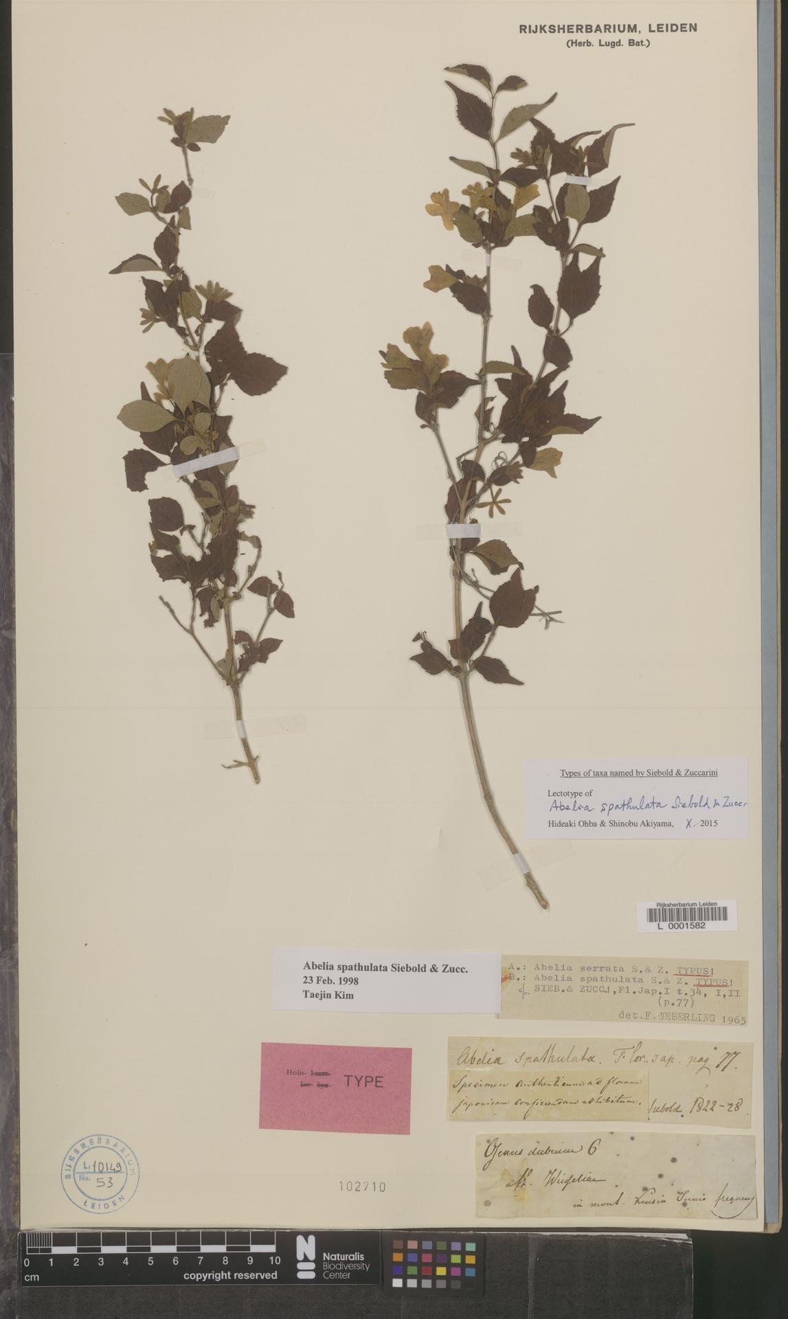 L  0001582 | Abelia spathulata Siebold & Zucc.