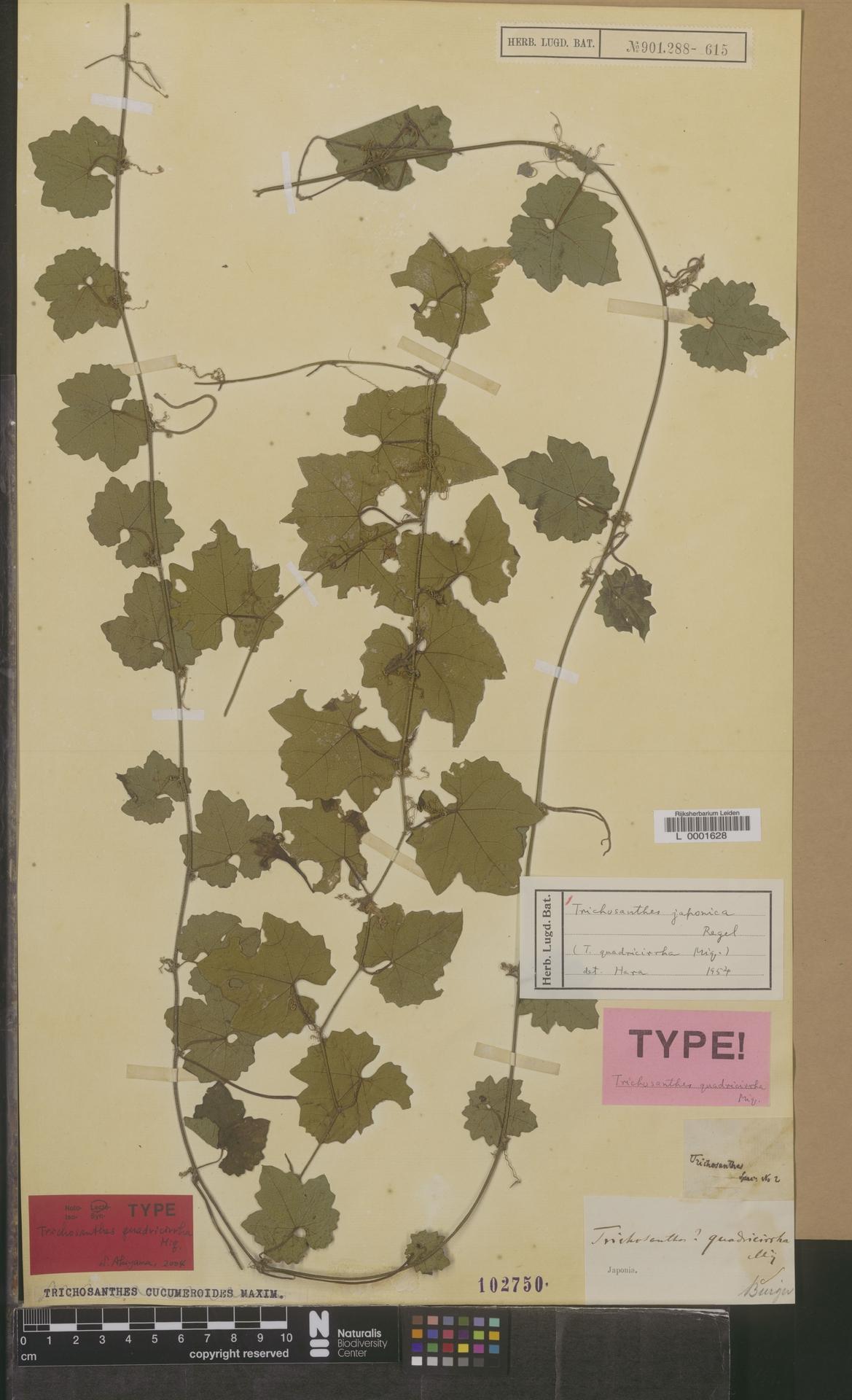 L  0001628 | Trichosanthes japonica Regel